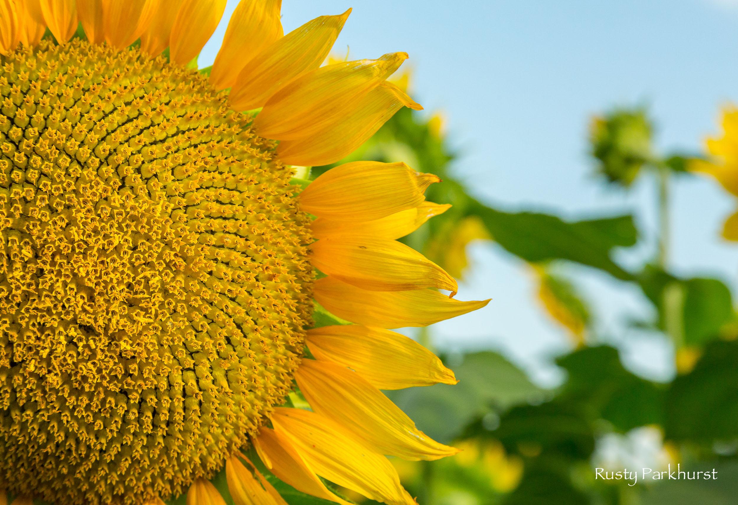 Grinter's Sunflower Farm