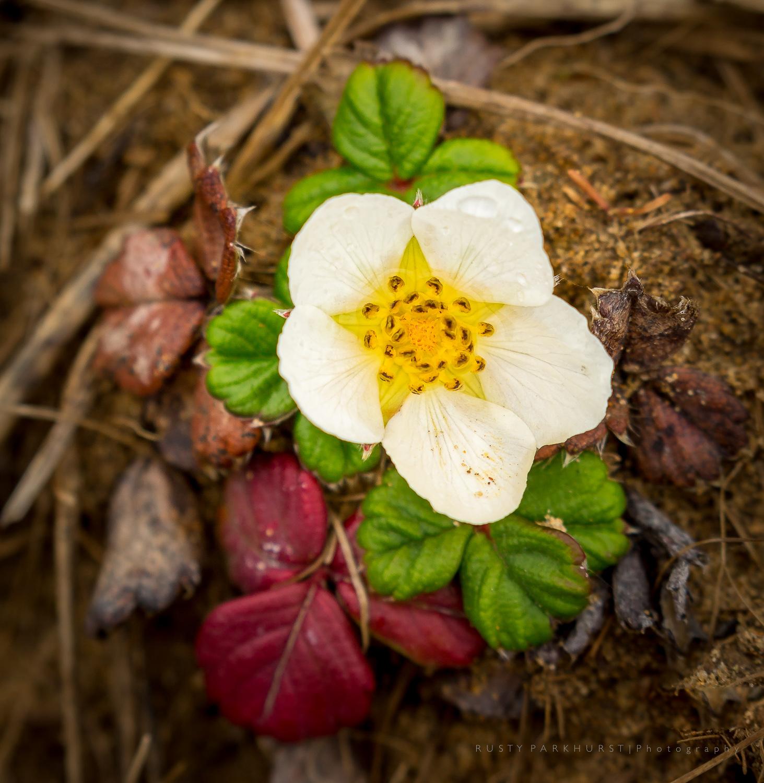 Strawberry Hill Flower