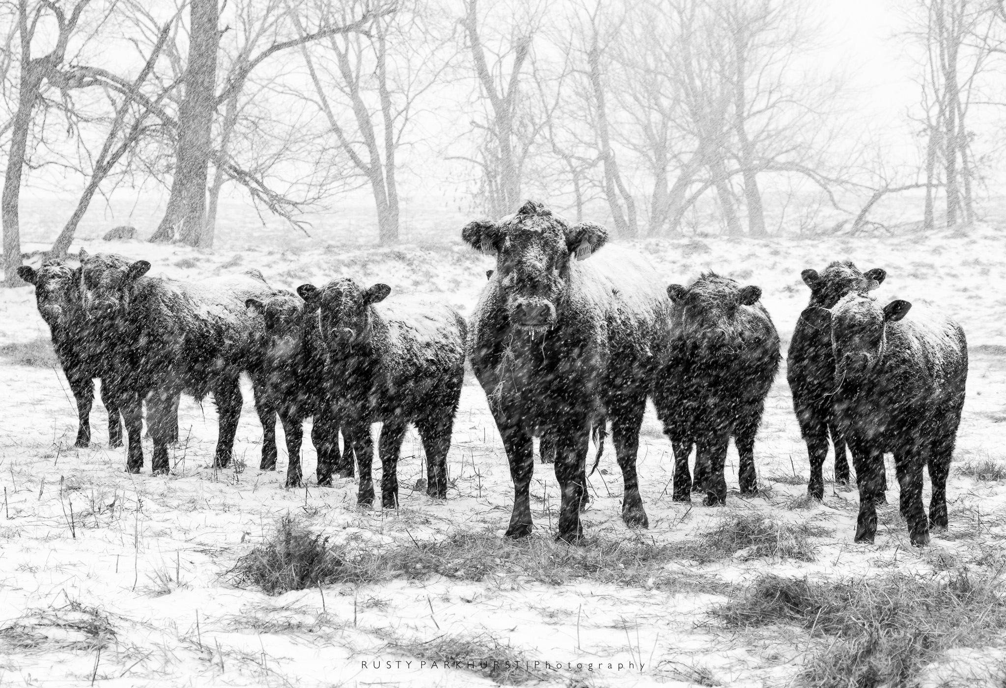 Snowy Cows   - taken February 15, 2015.  Sometimes images just present themselves.  Driving the country roads close to home during this winter storm, I noticed these cows grouped together near the fence.  When I stopped, they gathered close and just seemed to pose for this image.