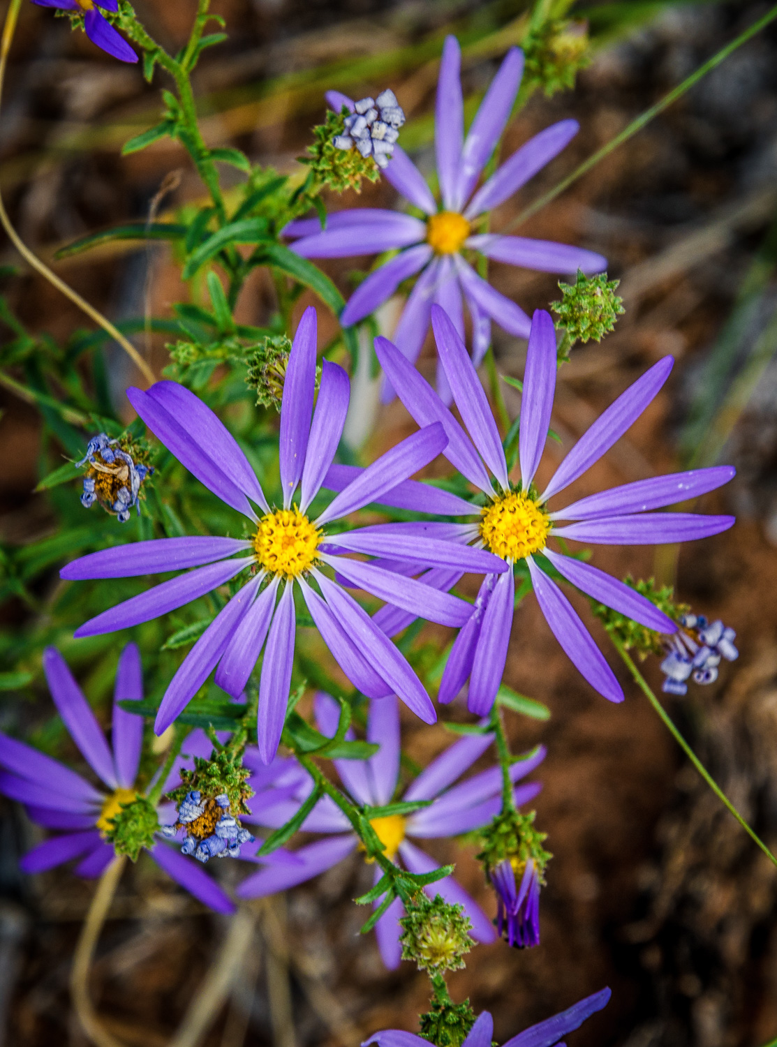 Tansyleaf Aster