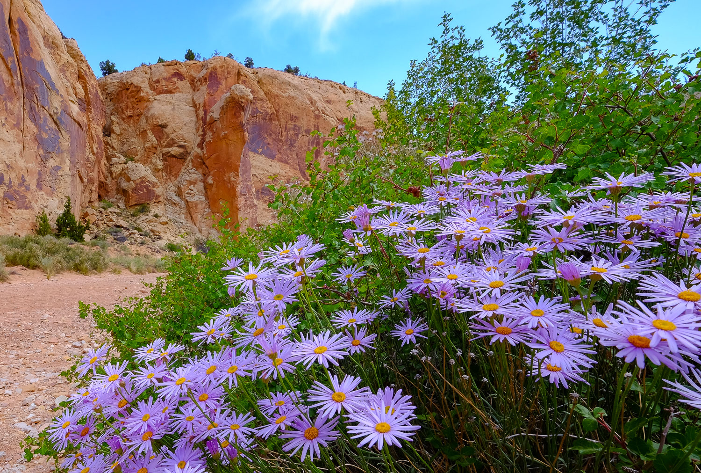 Utah Daisy