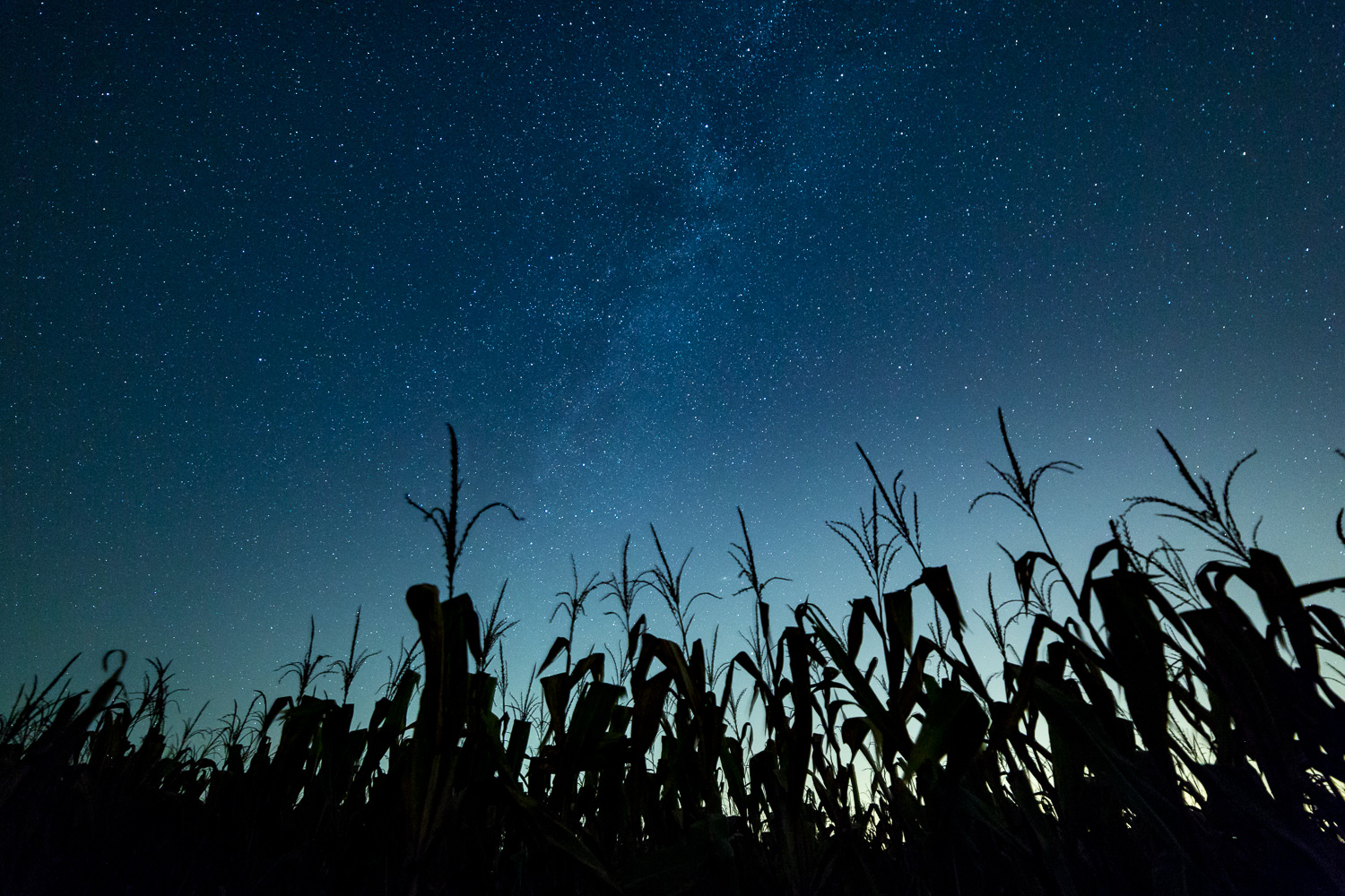 The Milky Way over a corn field adjacent to the sunflower field.