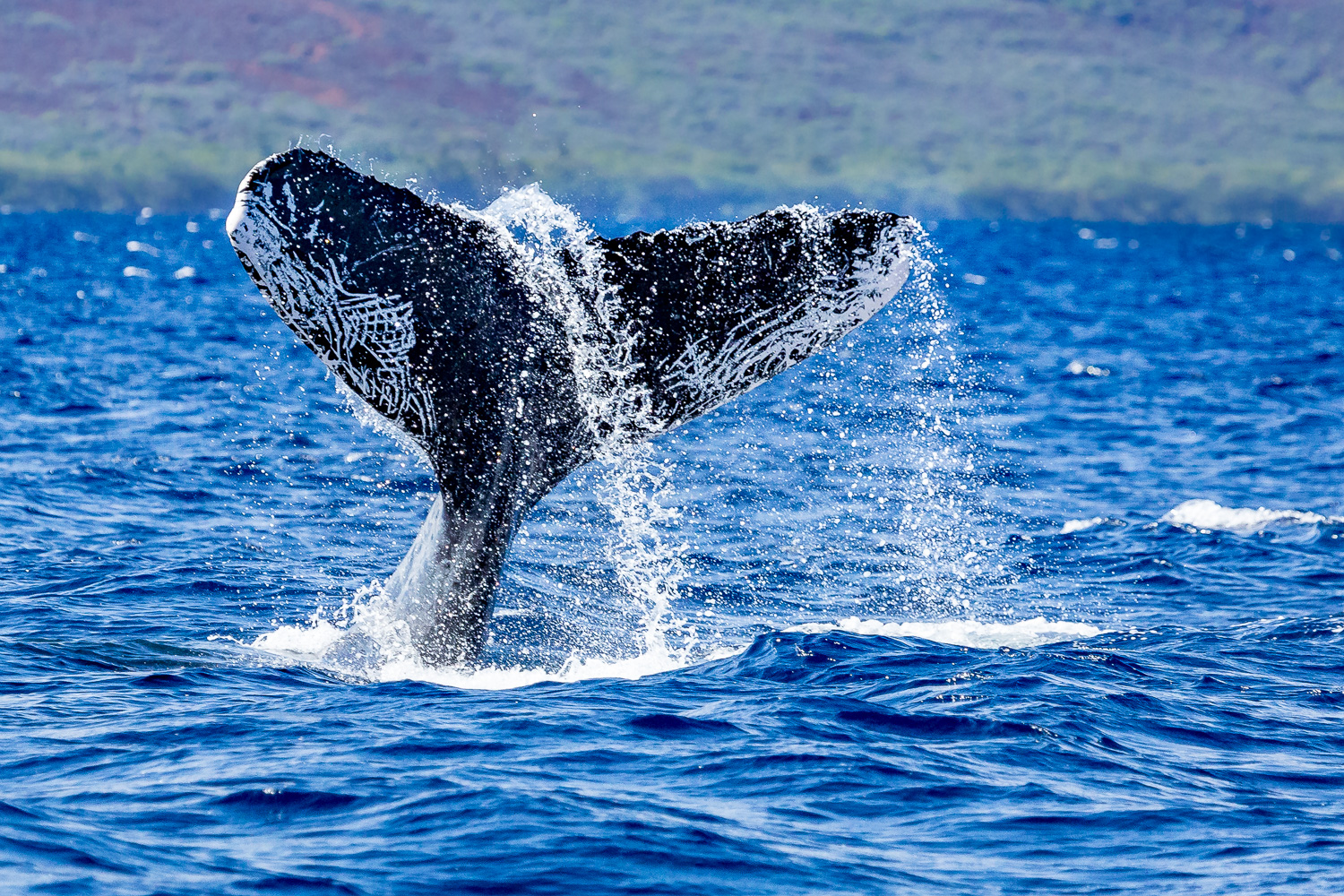 """A Whale of a Tale"" - On a whale watching cruise while in Maui. Captured January 4, 2017."