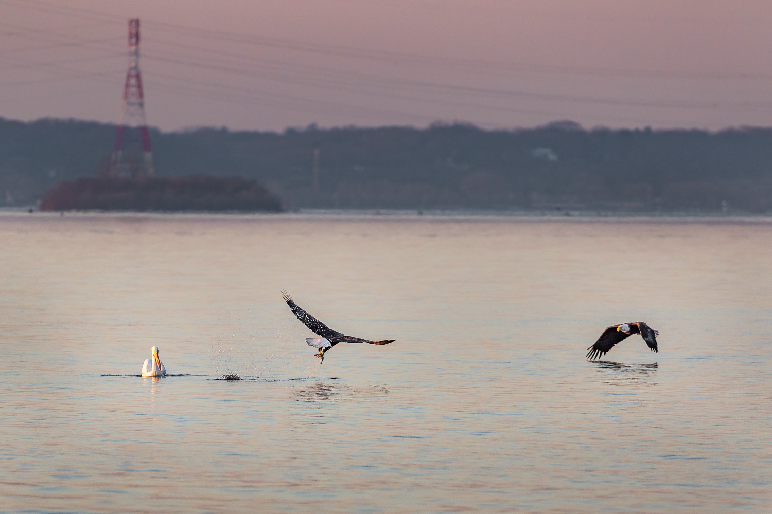 The competition is fierce among the eagles. When one catches a fish, there is at least one other eagle looking for an opportunity to take it away.