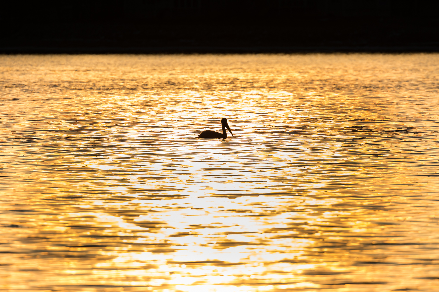 """Morning Gold"", a Pelican on the Mississippi River, Lock & Dam 14 near Le Claire, Iowa."