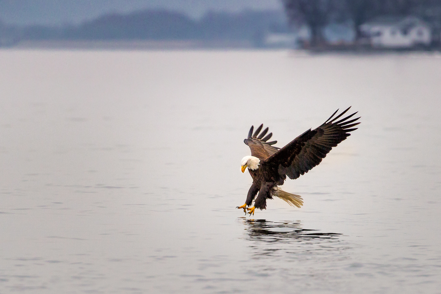 """Fast Food"", a Bald Eagle fishing the Mississippi River at Lock & Dam 14 near Le Claire, Iowa."