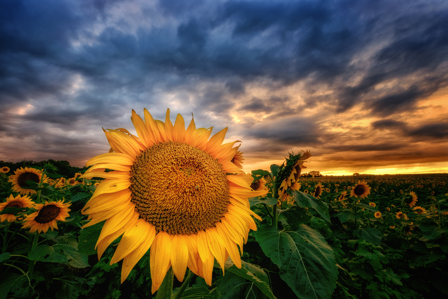 """The Bright Side"", a sunset capture at Grinter Sunflower Farms near Lawrence, Kansas."