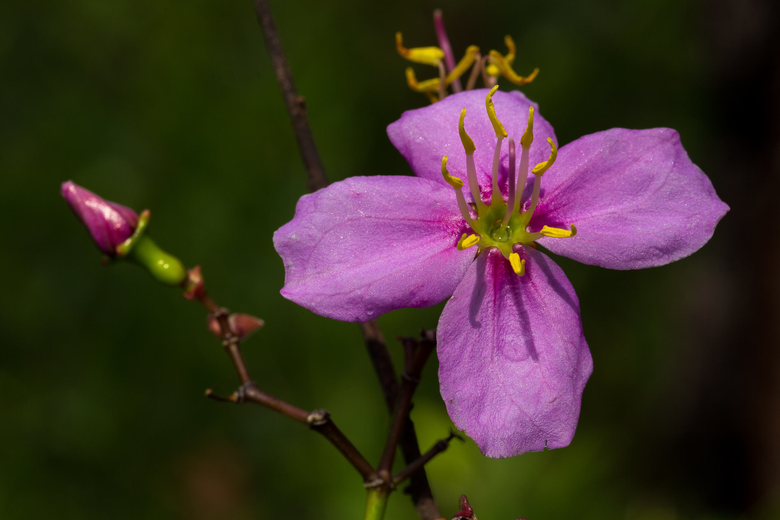 Rhexia alifanus  - Savannah meadow-beauty