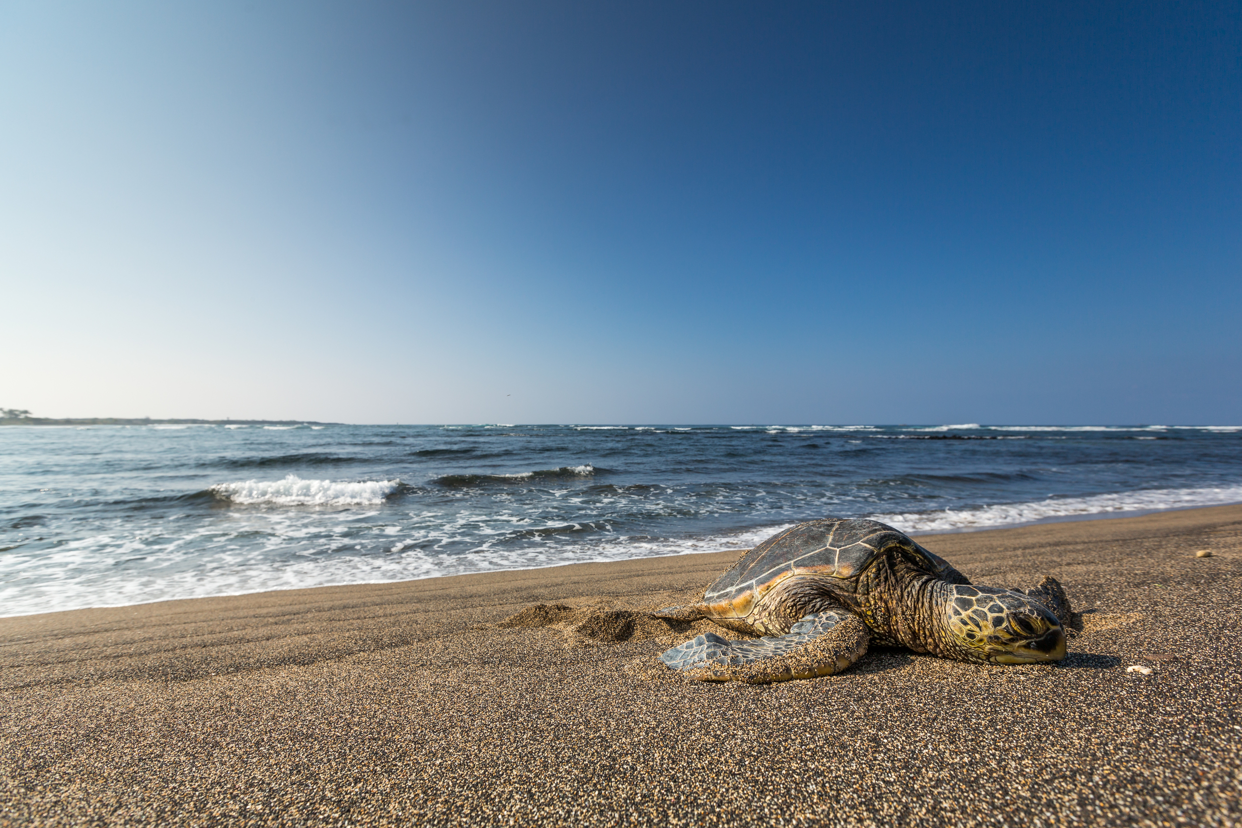 Green Sea Turtle - Chelonia mydas (native)