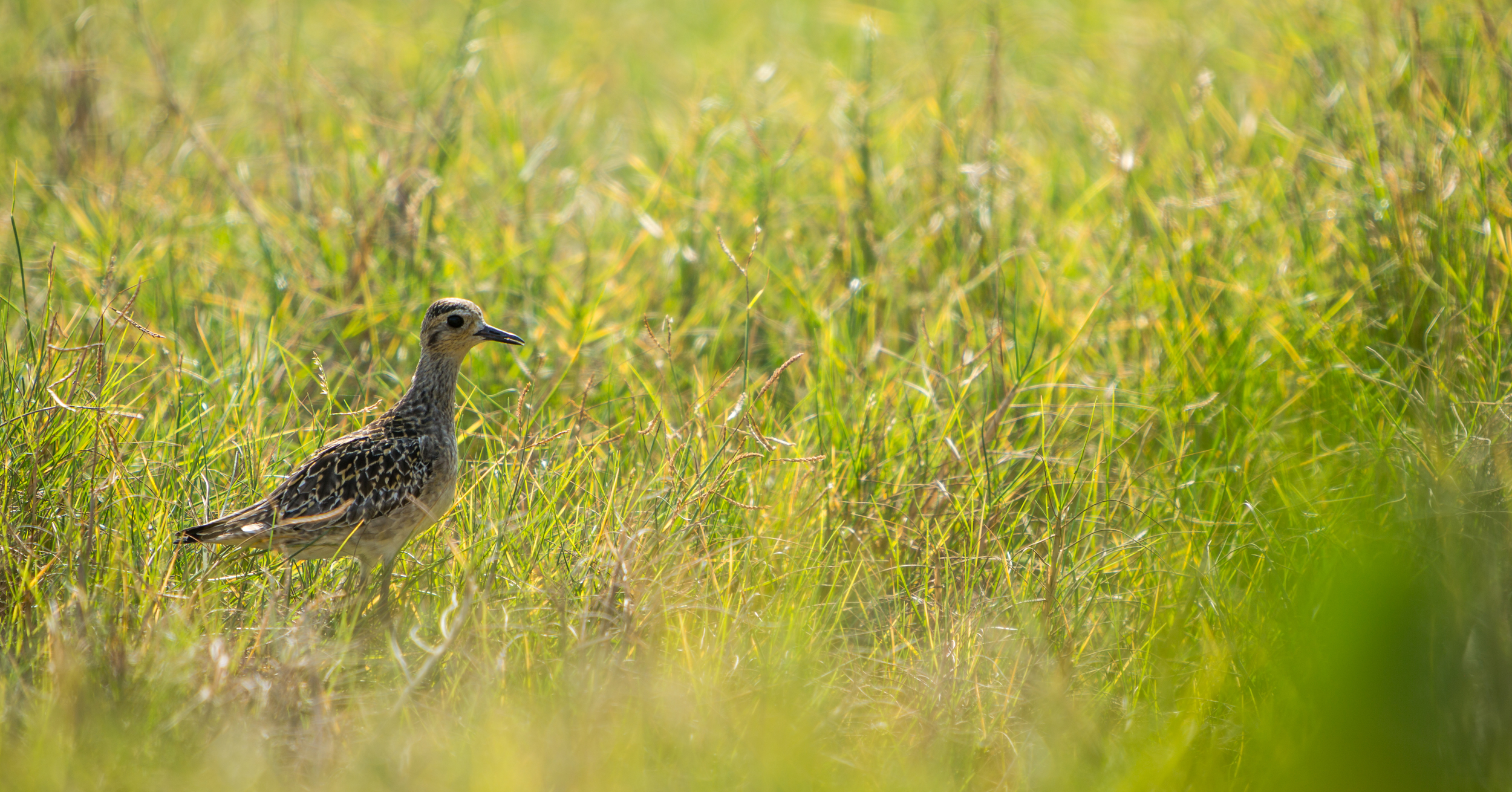 Pacific Golden-Plover - Pluvialis fulva (native, overwintering)