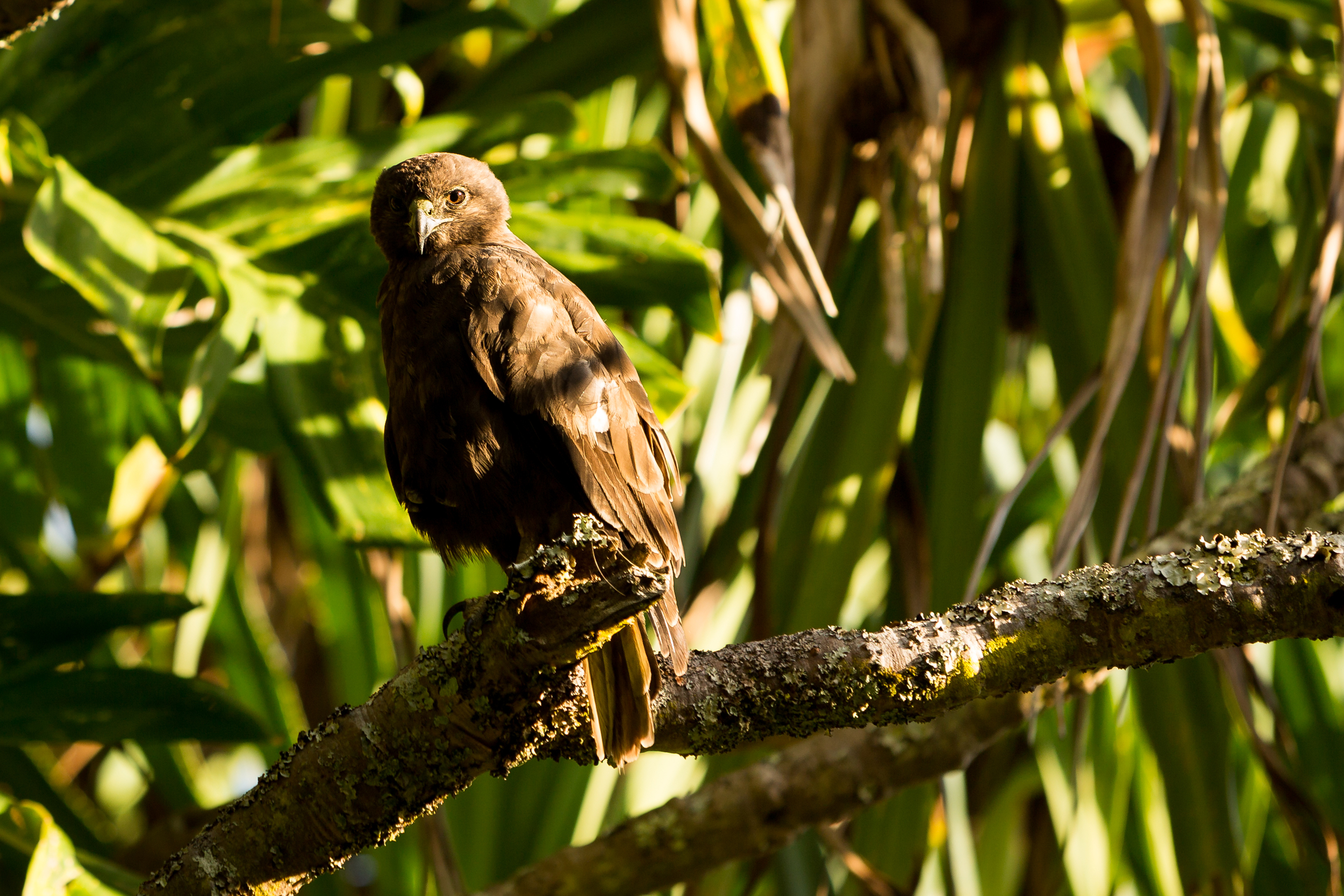 Hawaiian Hawk (dark morph) - Buteo solitarius (endemic)