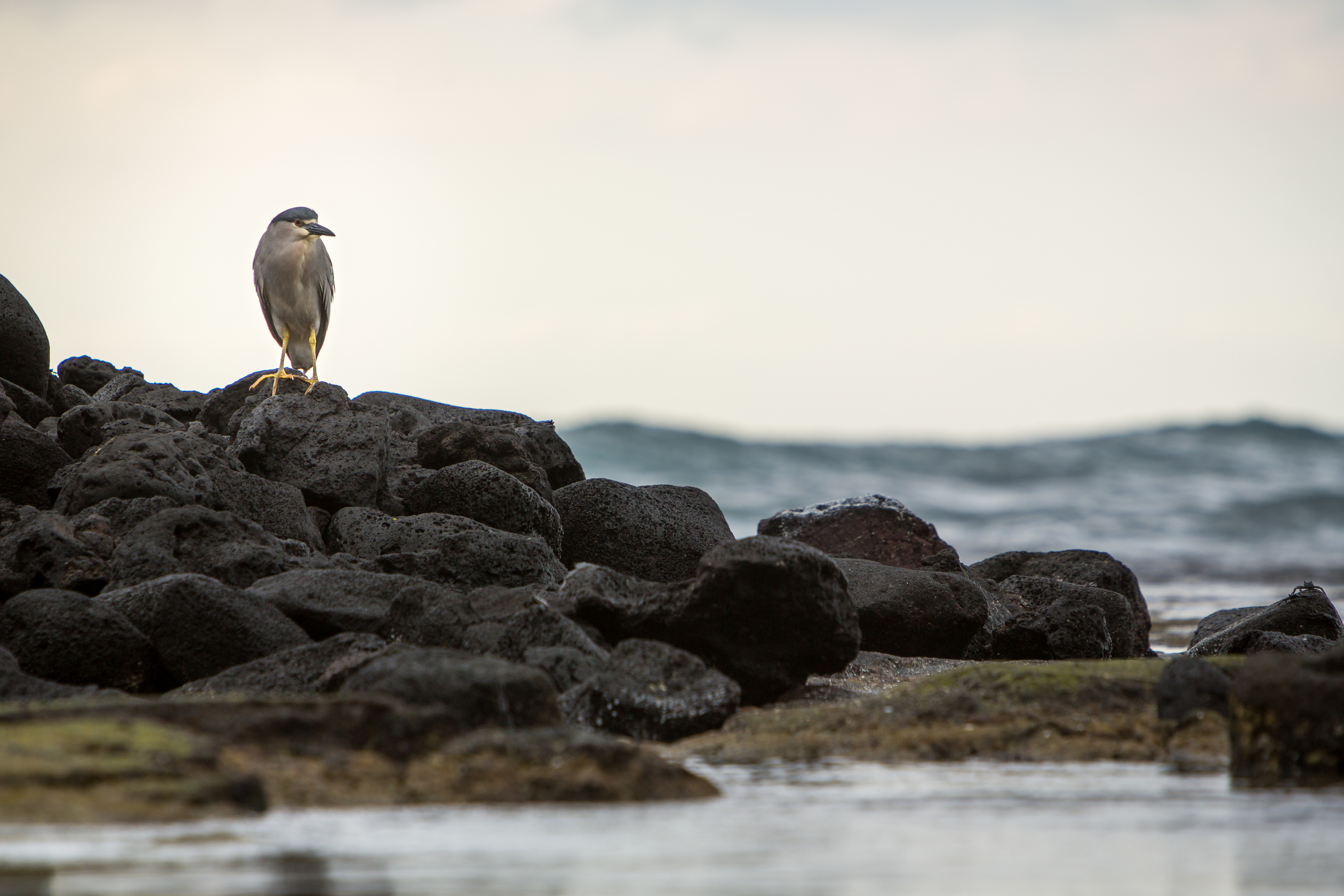 Black-Crowned Night-Heron - Nycticorax nycticorax (native)
