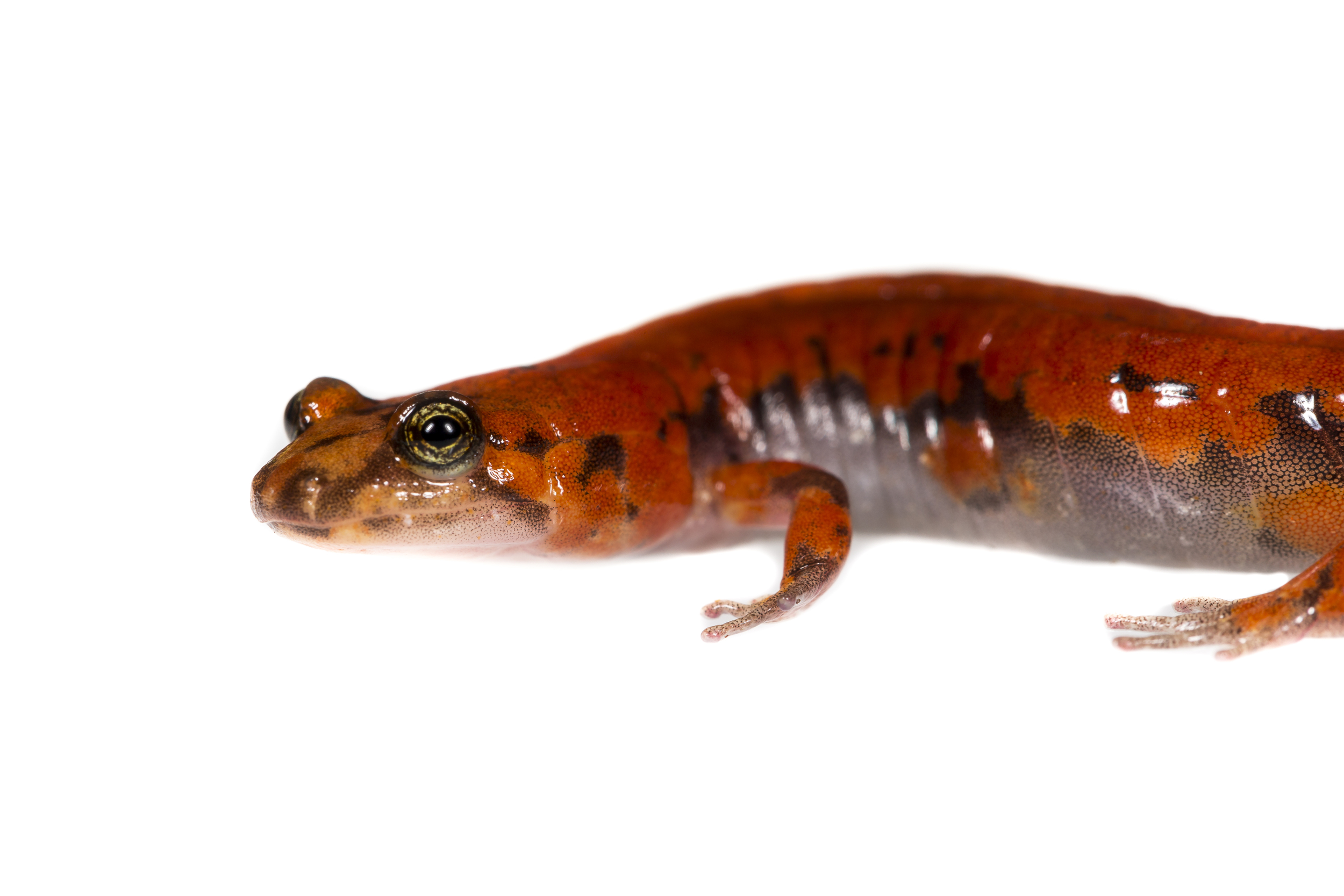 Salamanders can be difficult to identify due to their similarities as well as various color morphs. We sent images of this individual to two salamander experts and both came back with a different possible ID. One being the Allegheny Mountain Dusky, and the other being an Ocoee Salamander.