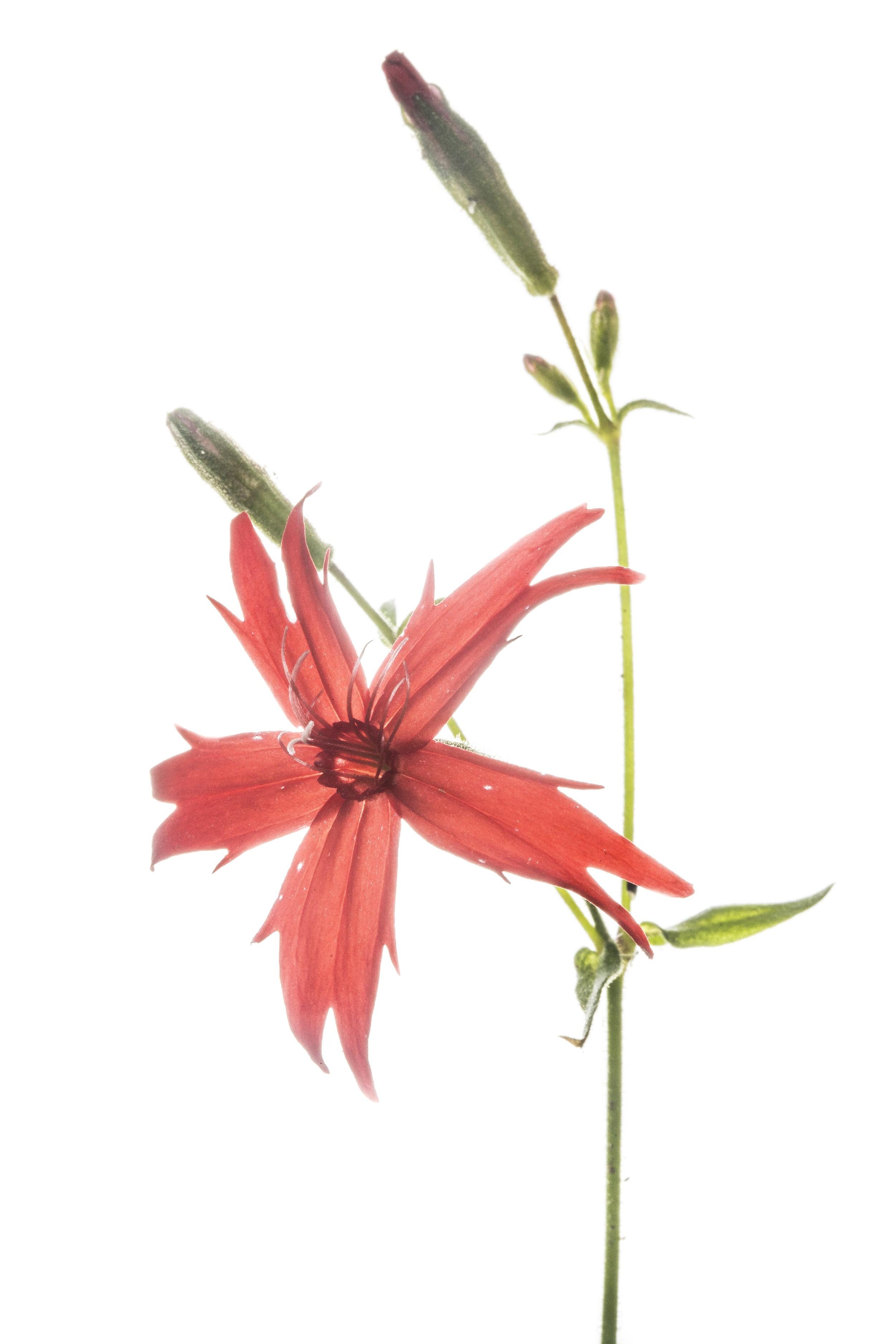 Fire Pink - Silene virginica