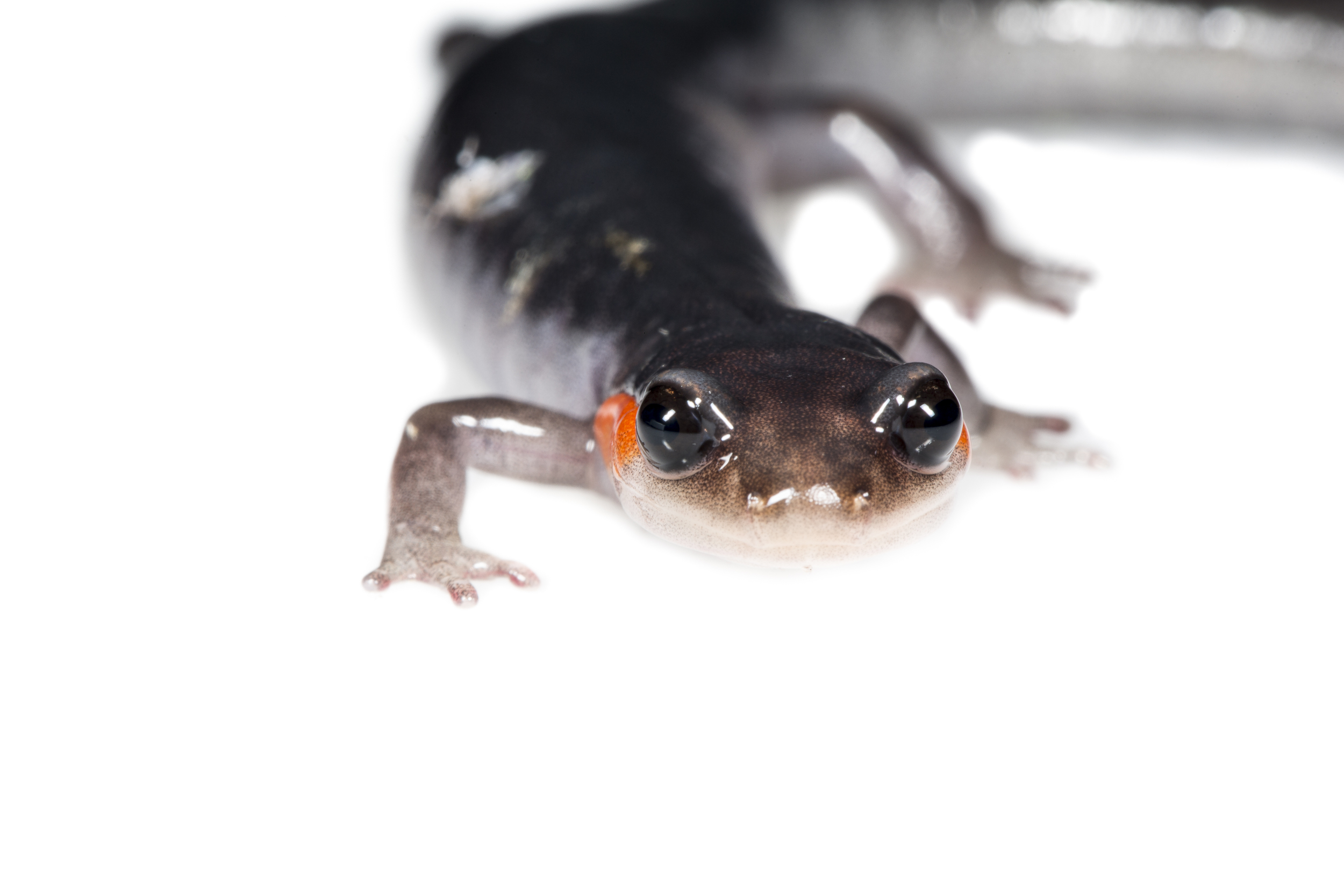 Red-cheeked Salamander -  Plethodon jordani