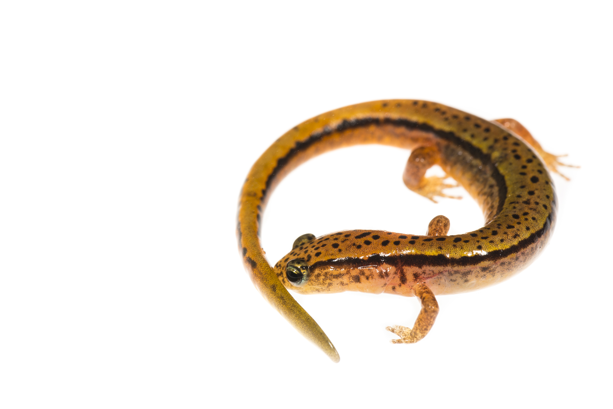 Blue Ridge Two-lined Salamander -  Eurycea wilderae