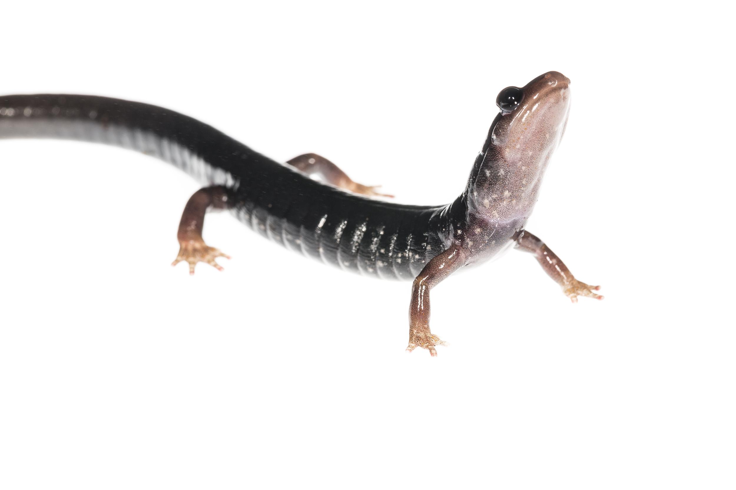 Southern Appalachian Salamander - Plethodon teyahalee