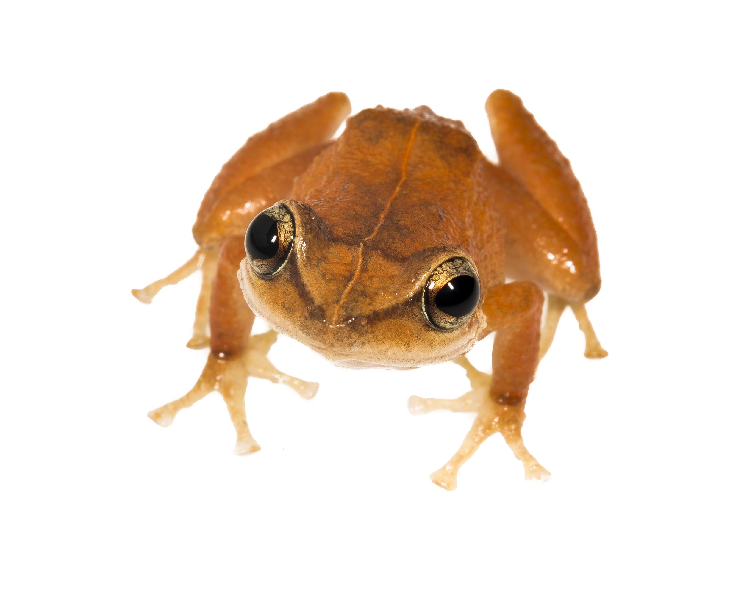 Coqui Frog - Eleutherodactylus cqui