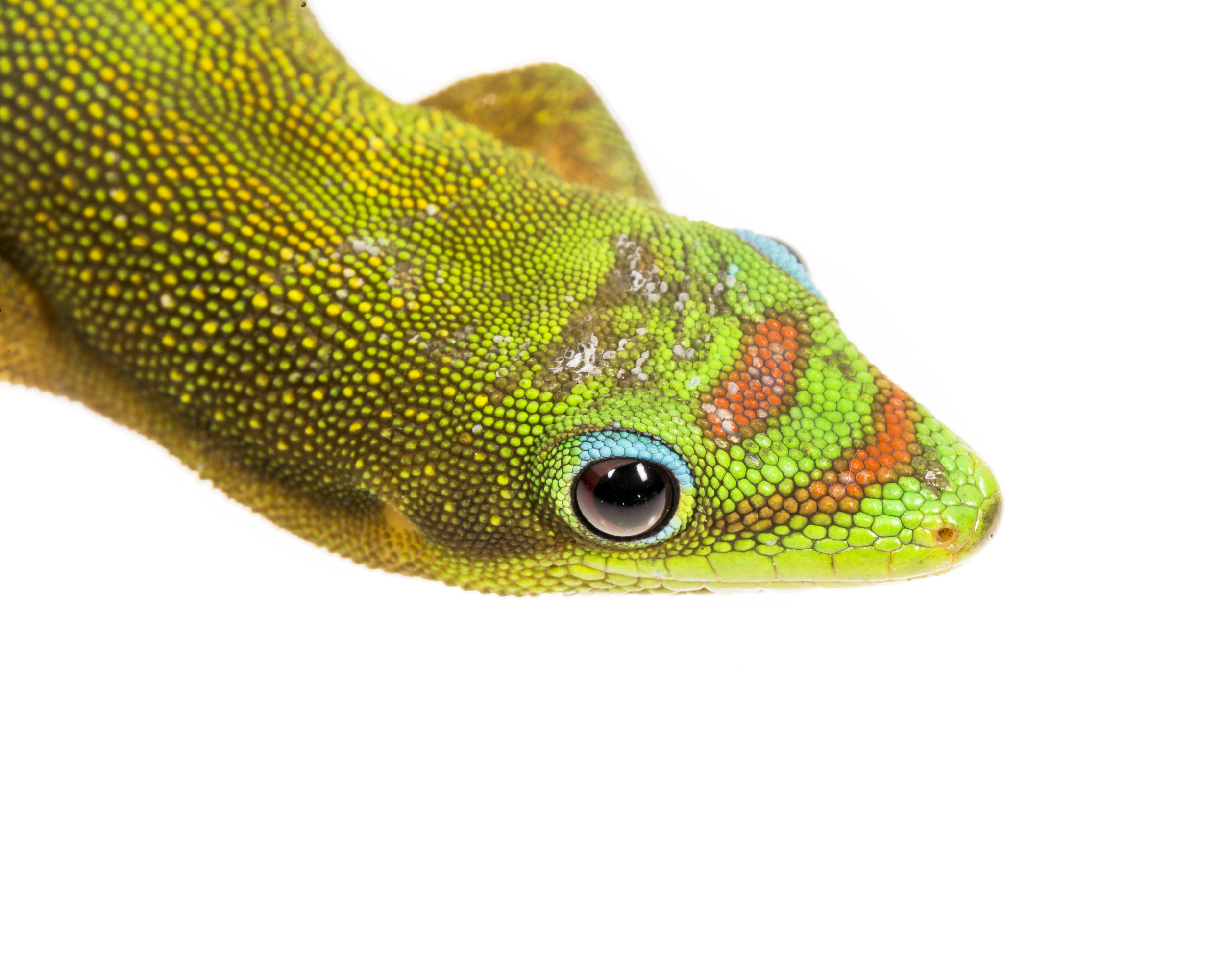 Gold Dust Day Gecko -  Phelsuma laticauda