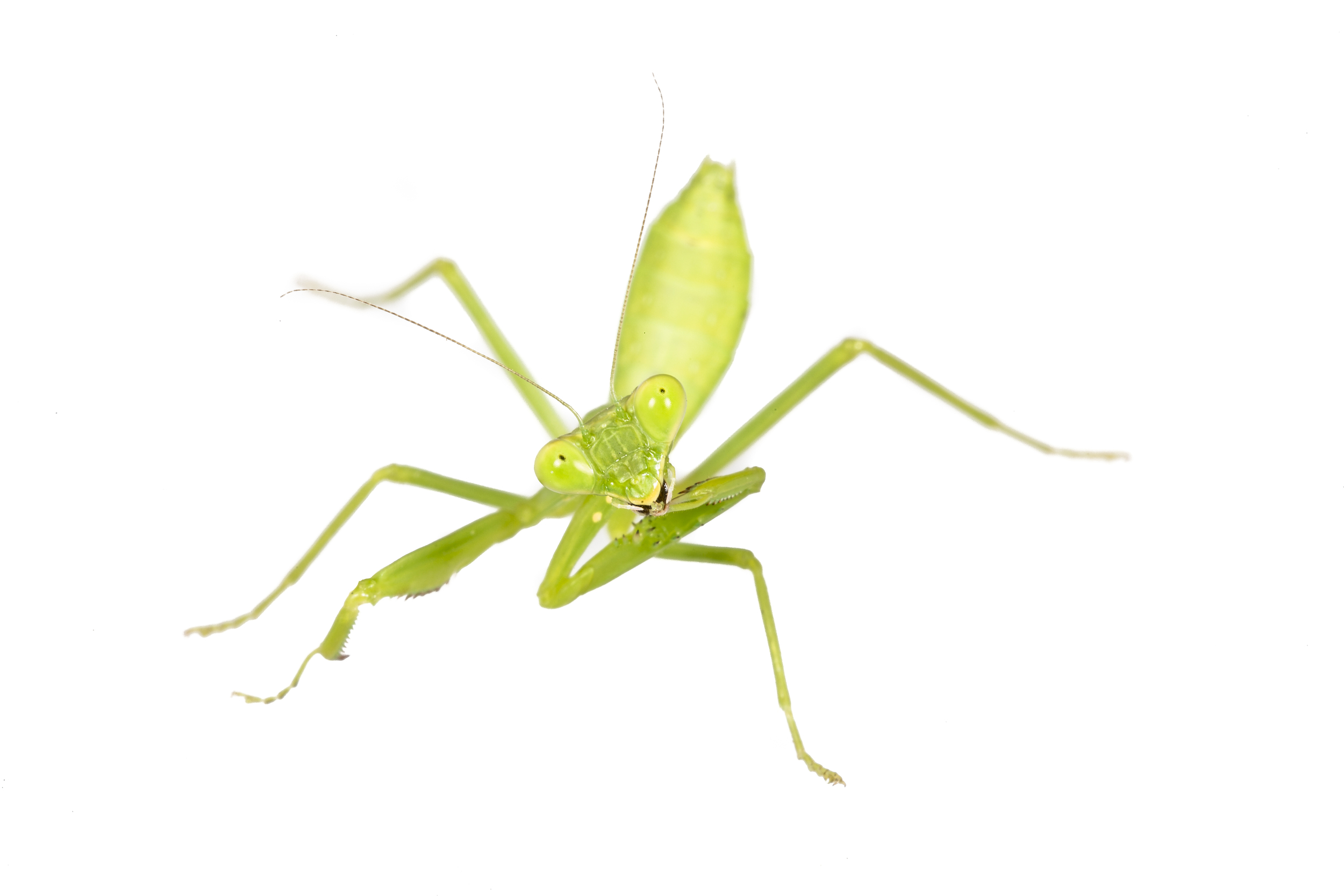 juvenile Giant Asian Mantis -  Hierodula patellifera
