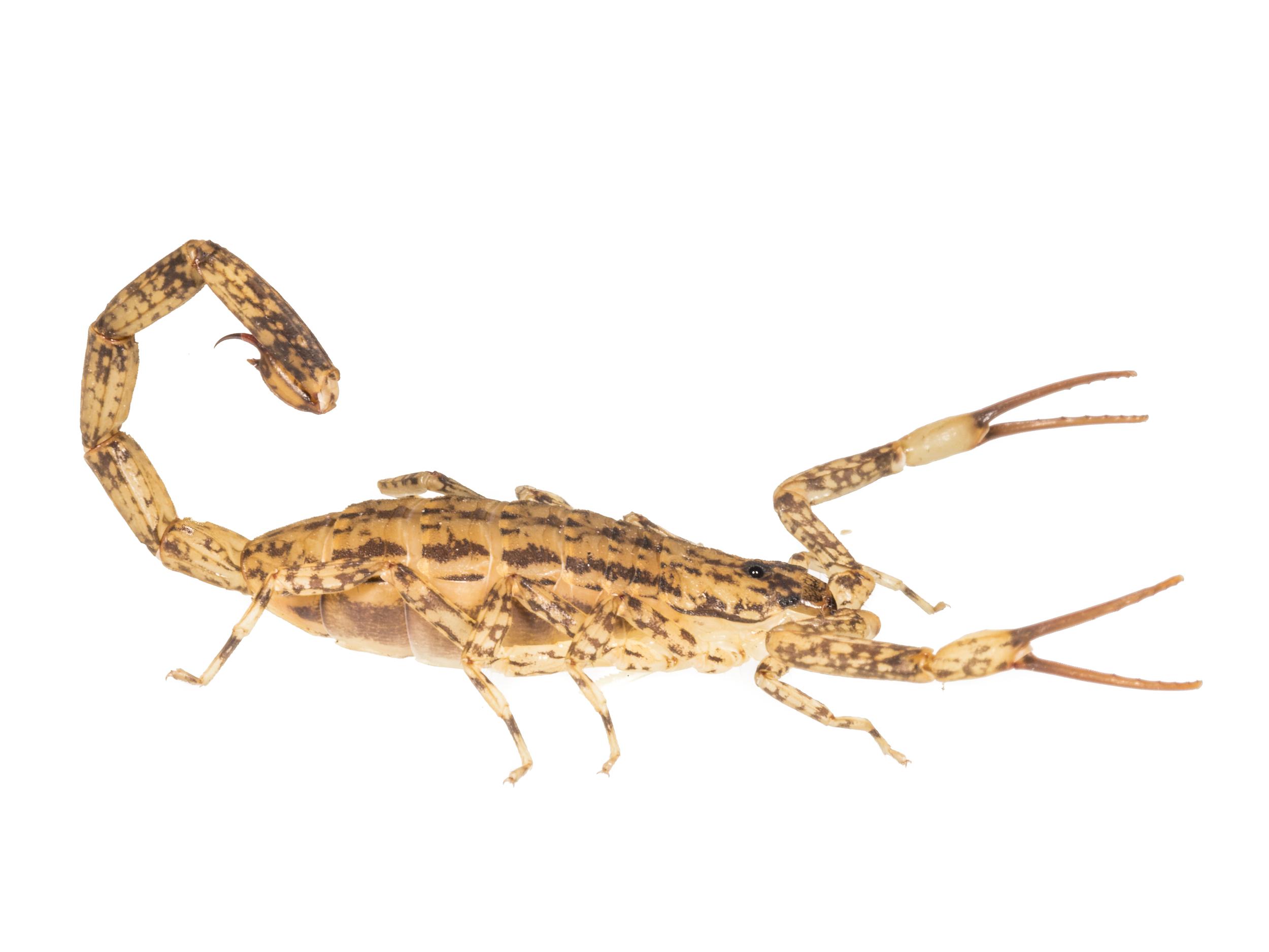 Lesser Brown Scorpion - Isometrus maculatus