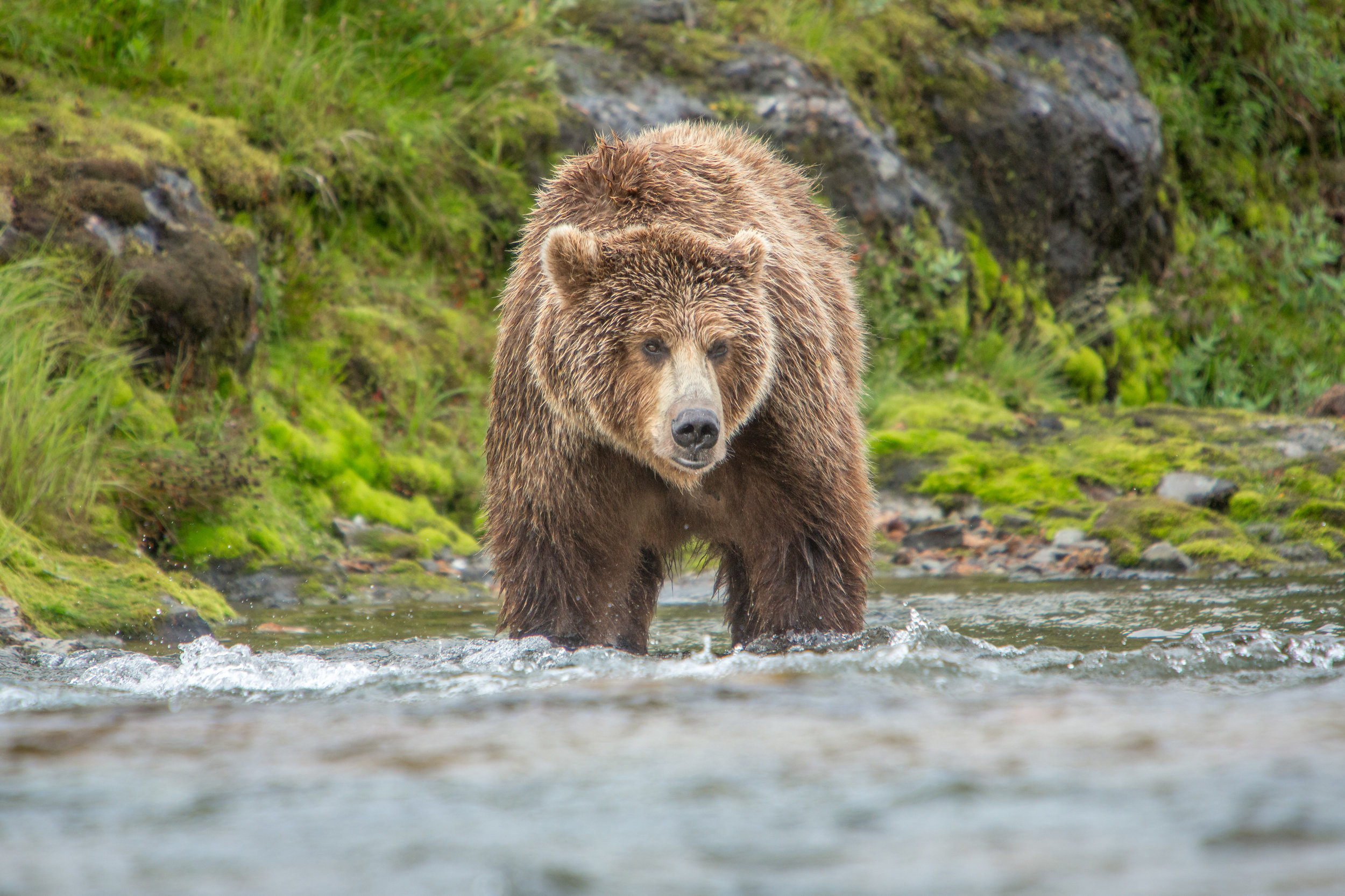 A large sow waiting for the perfect opportunity to catch a salmon. Her 3 cubs played on the riverbank as she fished.