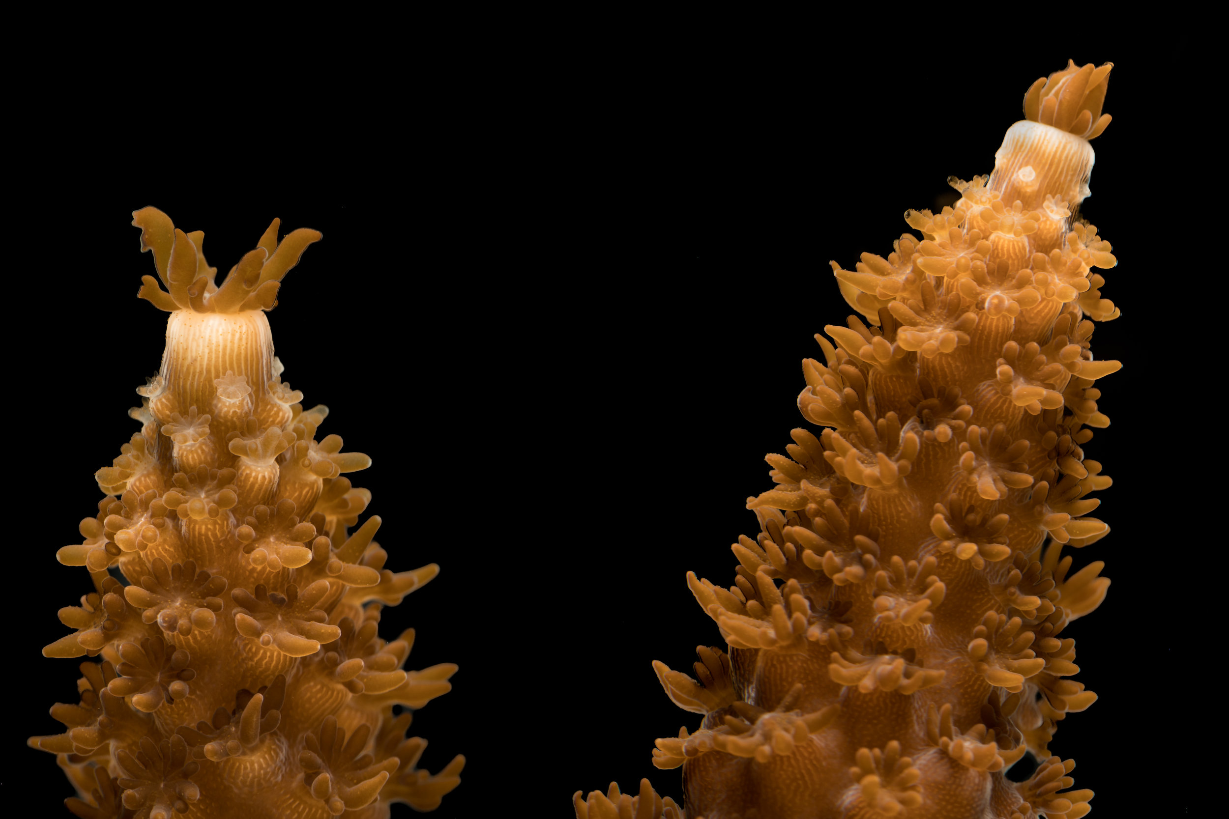 Acropora cervicornis  - Staghorn Coral