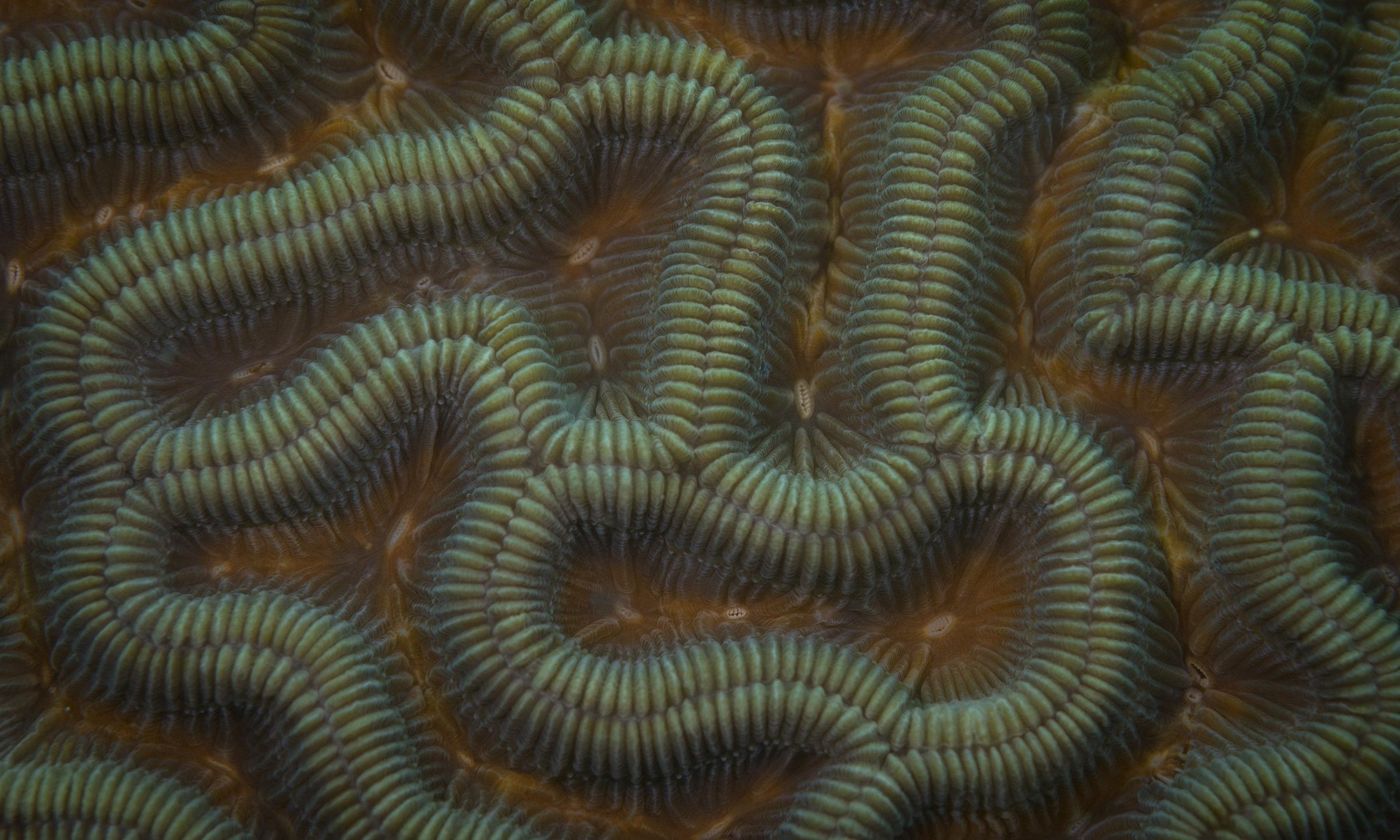 Colpophyllia natans  - Boulder Brain Coral