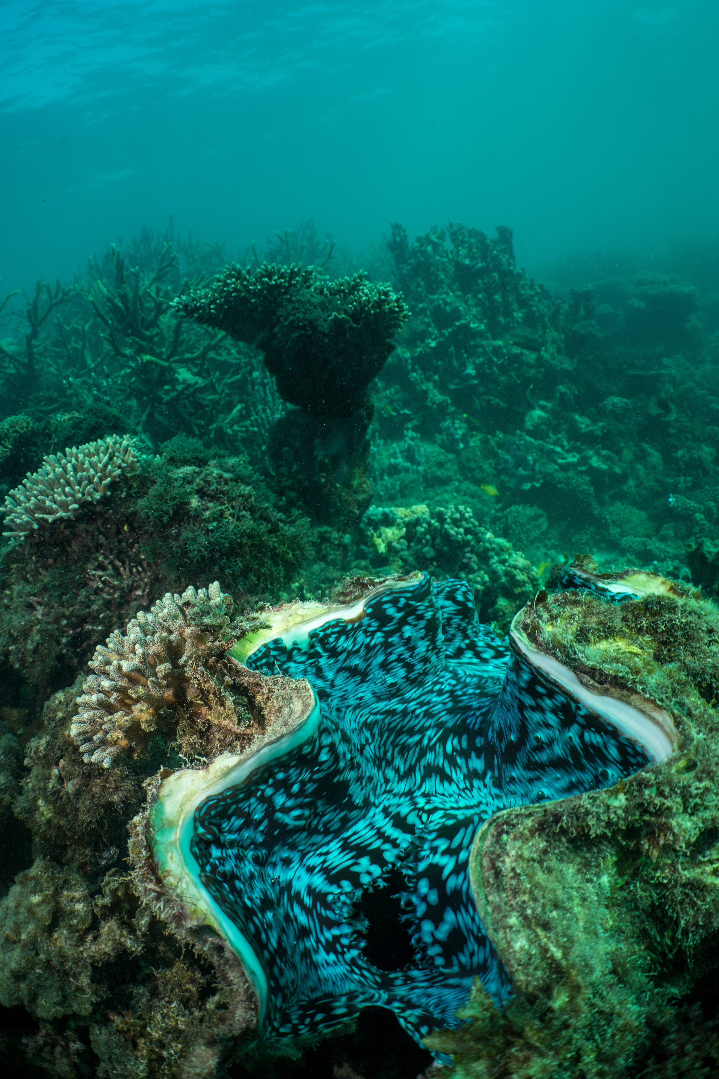 Giant Clams are so large that they themselves add structure to a coral reef. They can weigh up to 440 pounds, making them the worlds largest mollusk. Many will corals growing all over their shells. This helps them to blend into the reef and look less conspicuous.