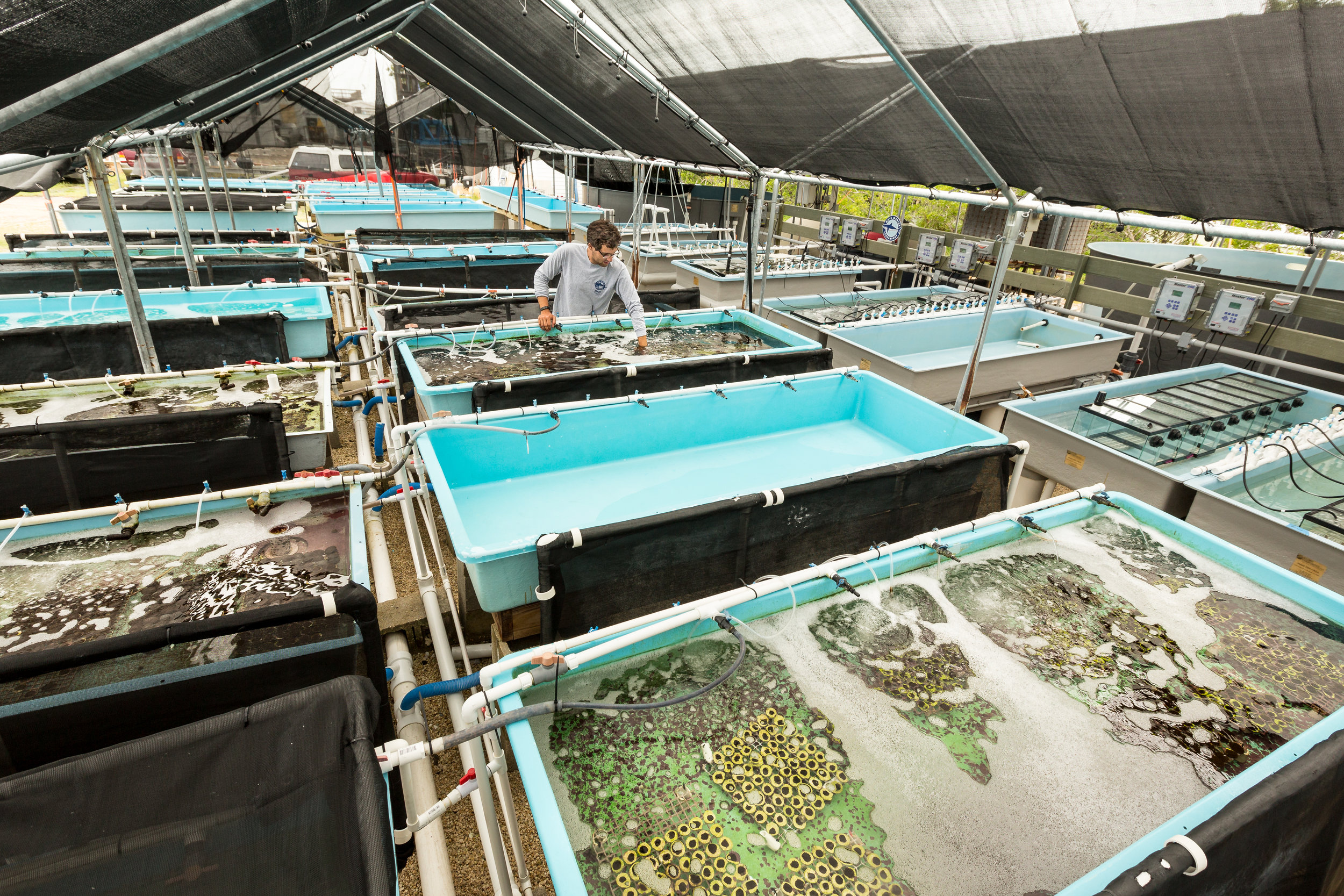 Staff biologist Joey Mandara checks on coral fragments growing in the raceways. Each coral raceway can hold up to approximately 1,000 fragments.