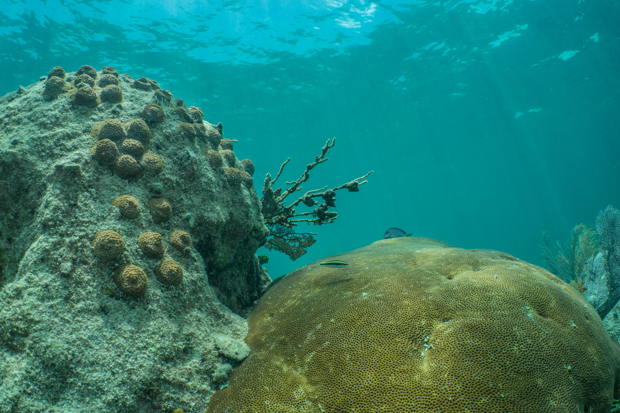 Fragments of Mountainous Star Coral adjacent to a large colony of Massive Starlet Coral.