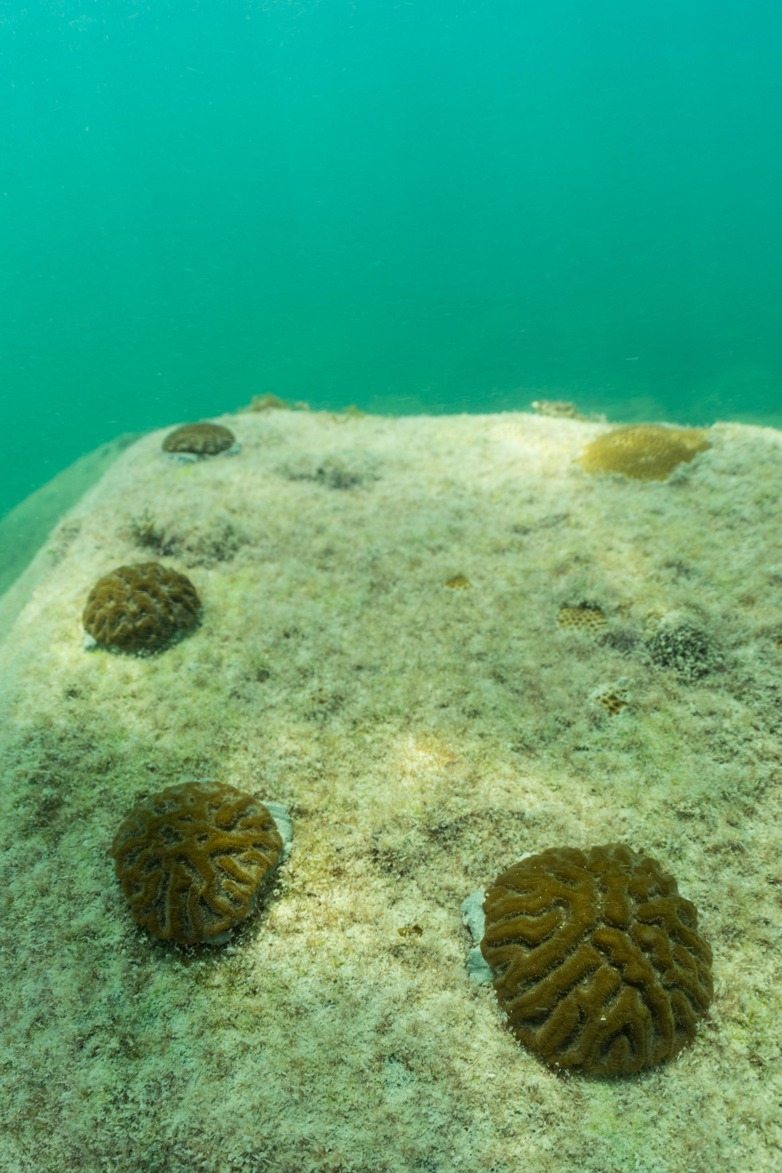 Pseudodiploria clivosa  - Knobby Brain Coral