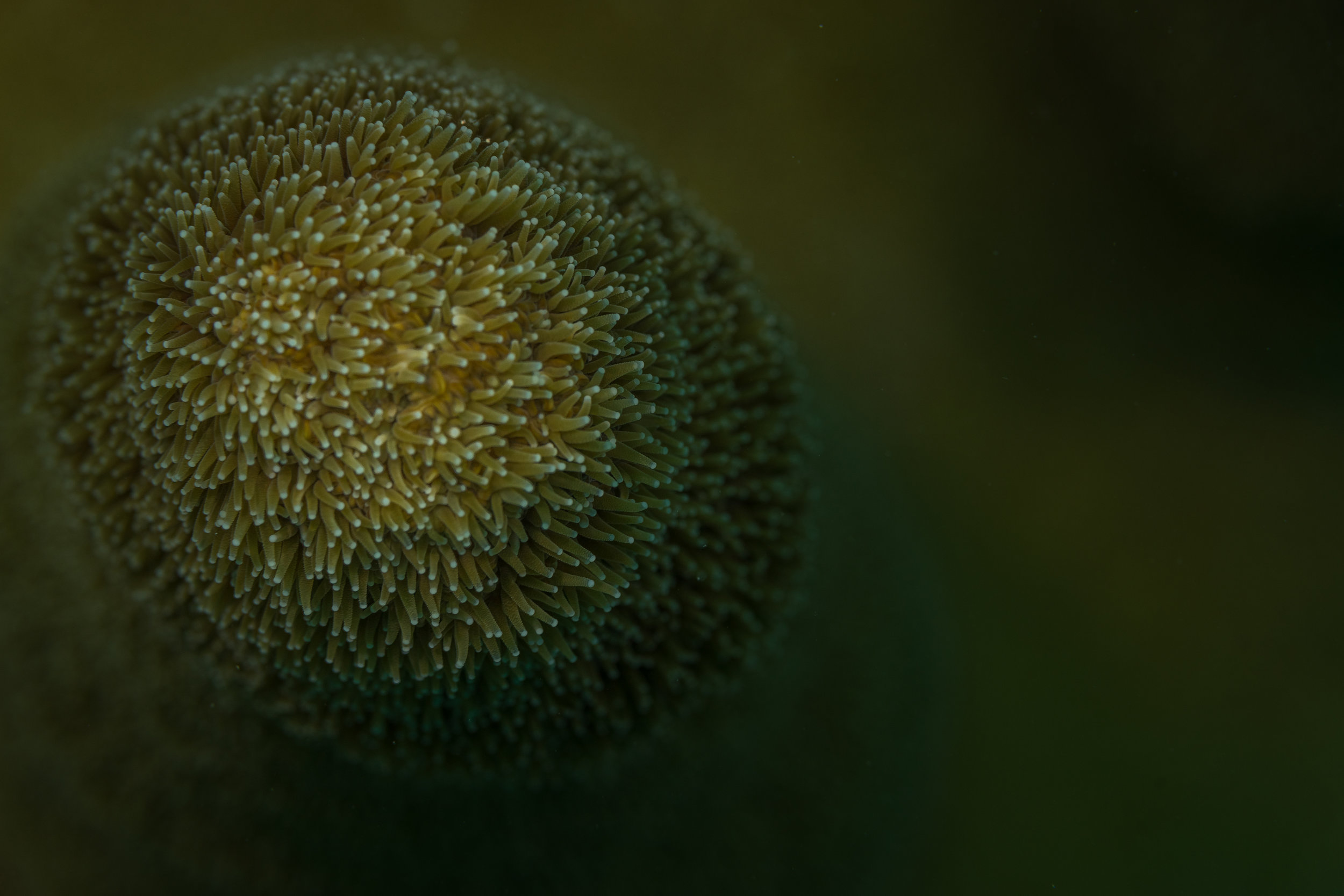 The polyps of a Pillar Coral sway back and forth almost like a moving shag carpet.