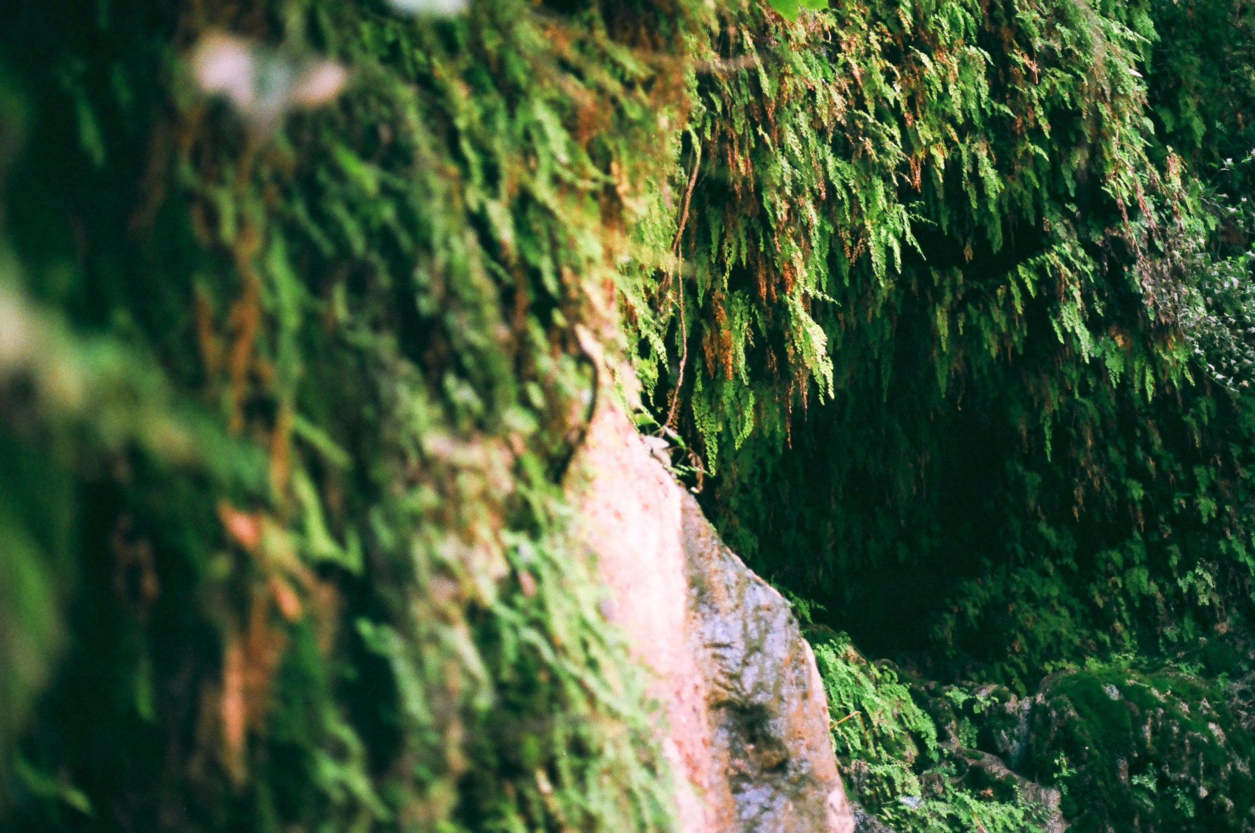 Ferns growing along the waterfall at Ein Gedi