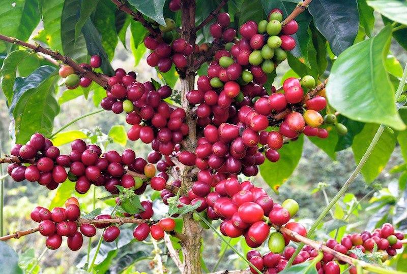 Los Congos cherries ripe tree.jpg