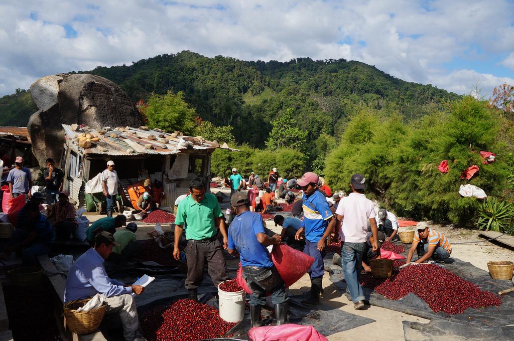 Los Congos sorting cherries.jpg
