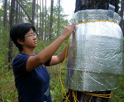 Dr. WEI wu installs equipmenton a slash pine to do a sap flow test