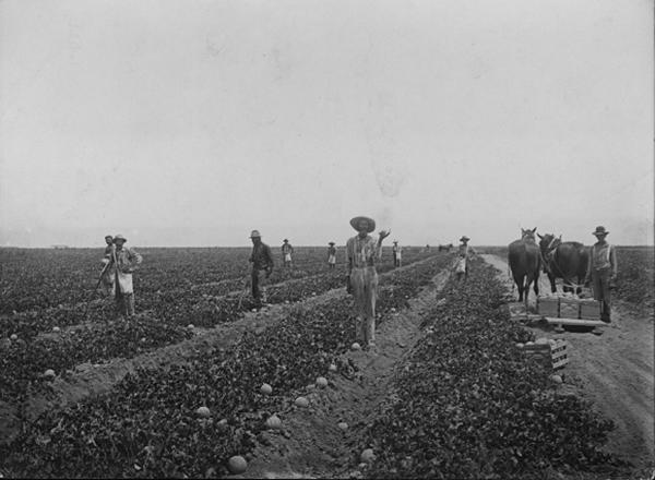 Growing cantaloupes near Brawley, circa 1910  Courtesy of University of Southern California, California Historical Society Collection, 1860-1960