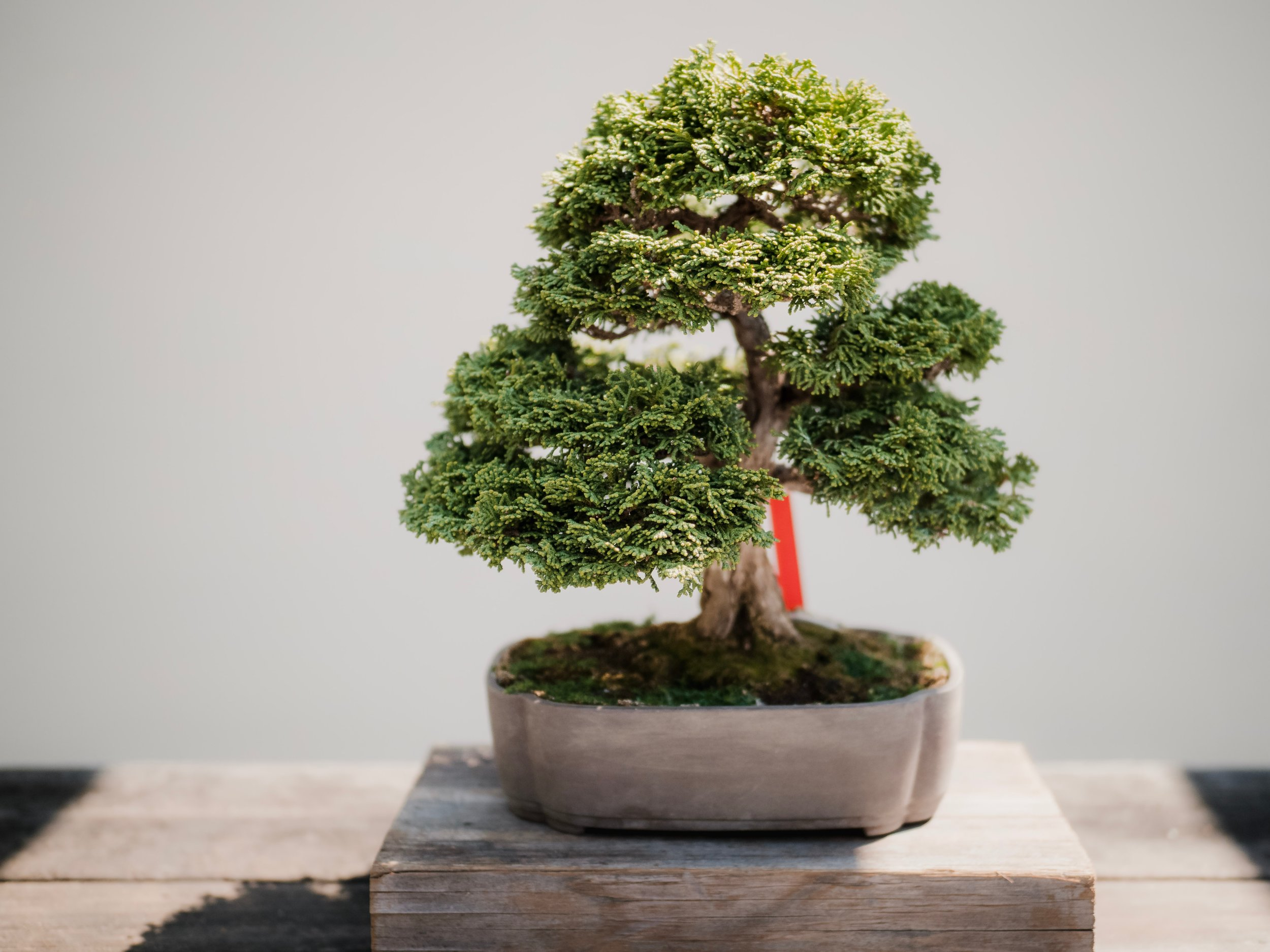 Beginner Bonsai — The Chattery on