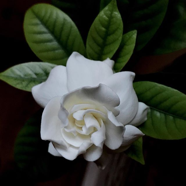 A most welcome surprise in the dining room. #springblooms #gardenia #memoryflower #mastinlabs