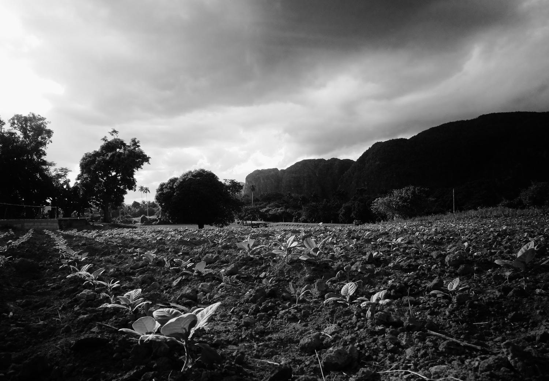 Tobacco fields in Las Terrazas.