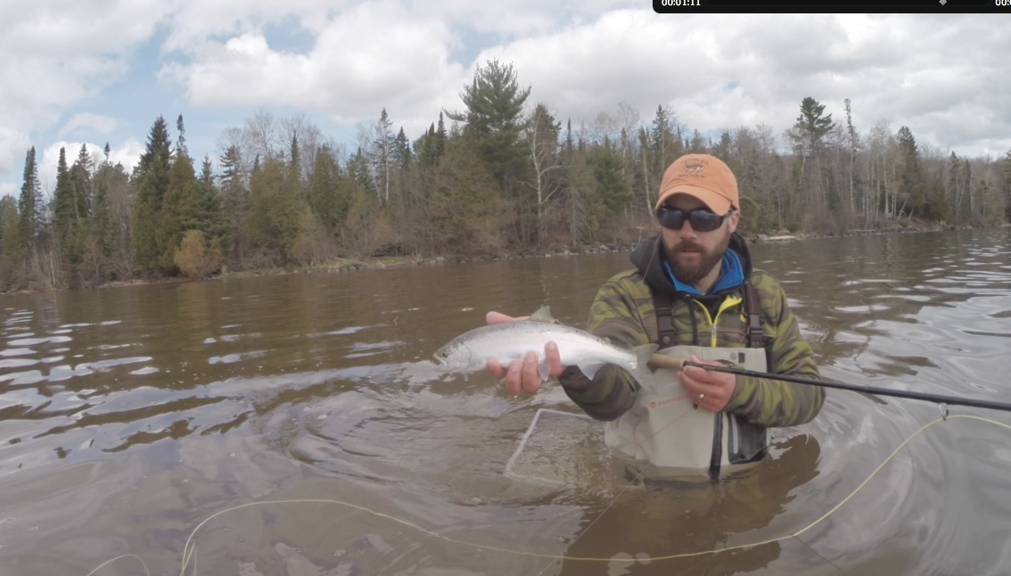 A bunch of bright, immature Cohos around right now. Lots of fun on a fly rod!