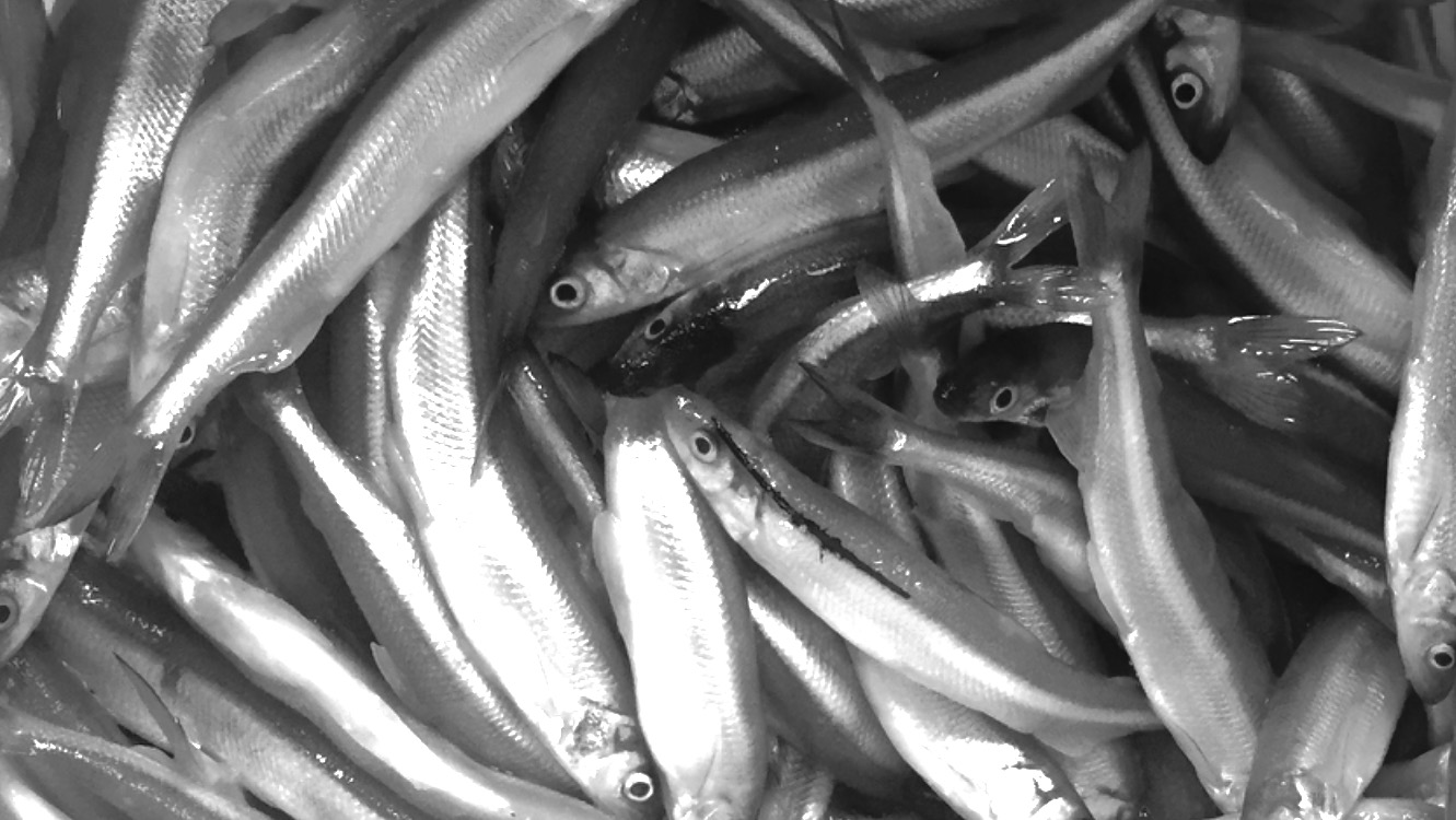 The smelt are just starting. Last night was the first night our guys got into them.