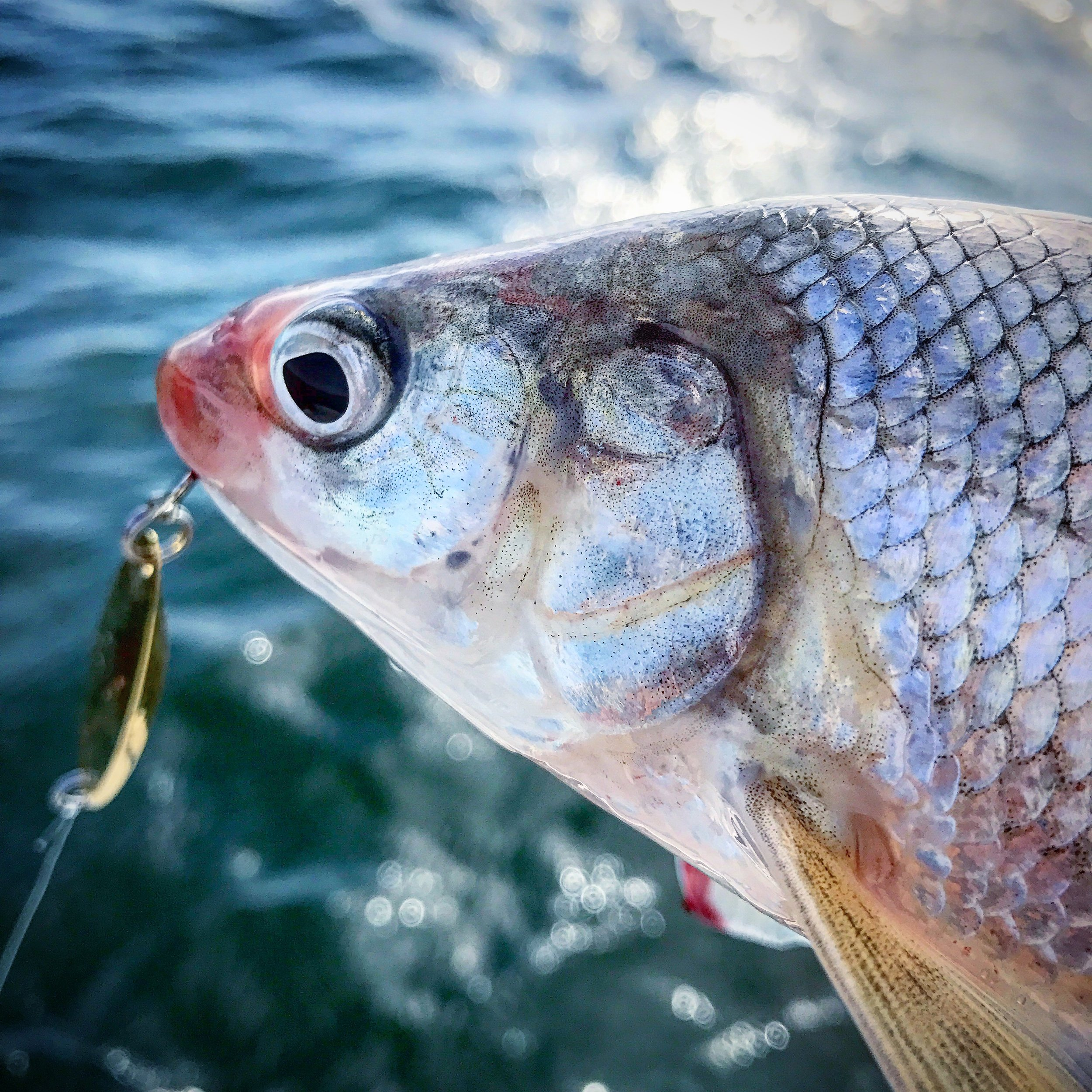 Whitefish are a great fish to target if you like jigging light tackle. There's plenty of them around and they're pretty easy to catch.
