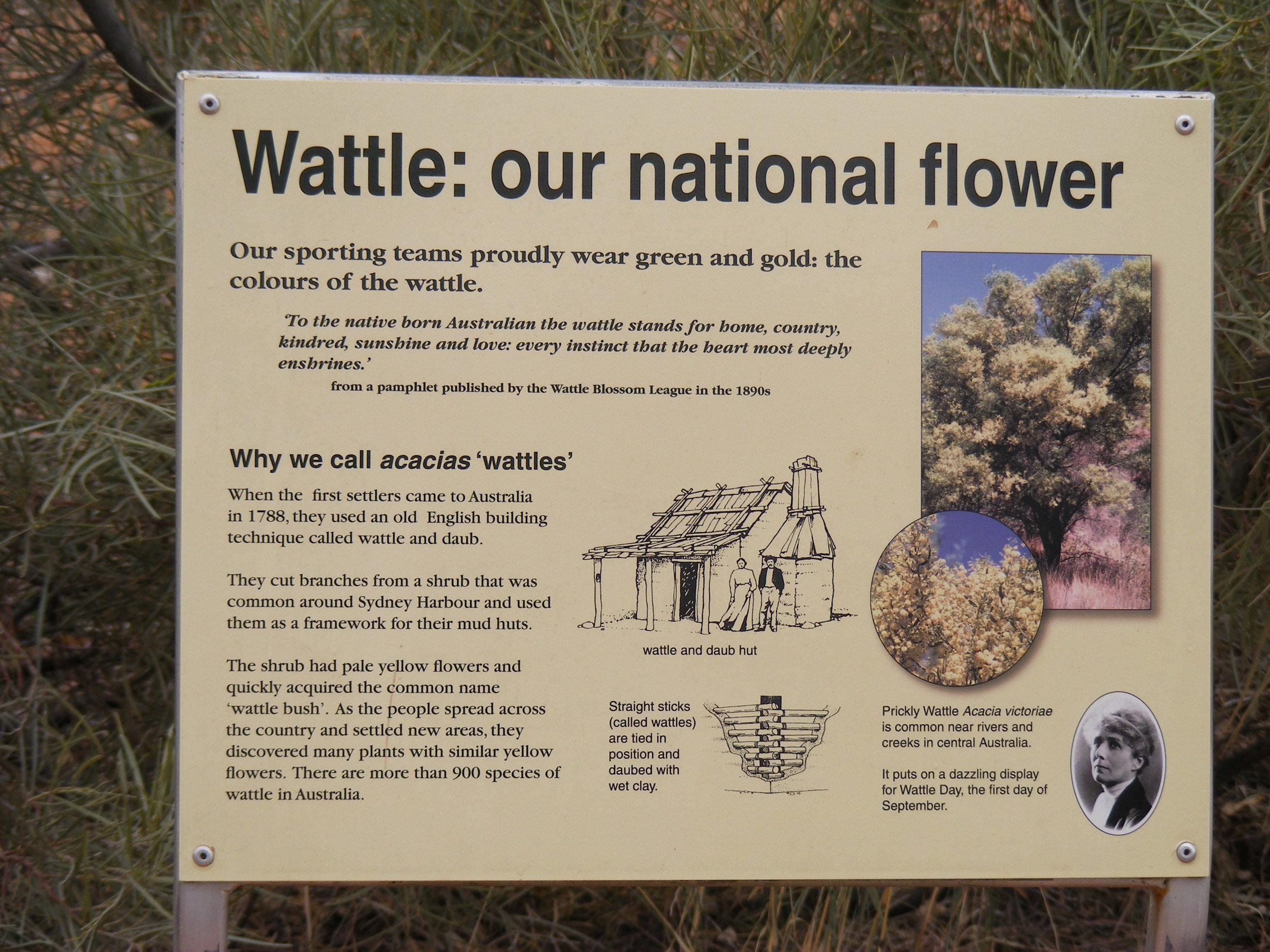 Wattle, the national flower