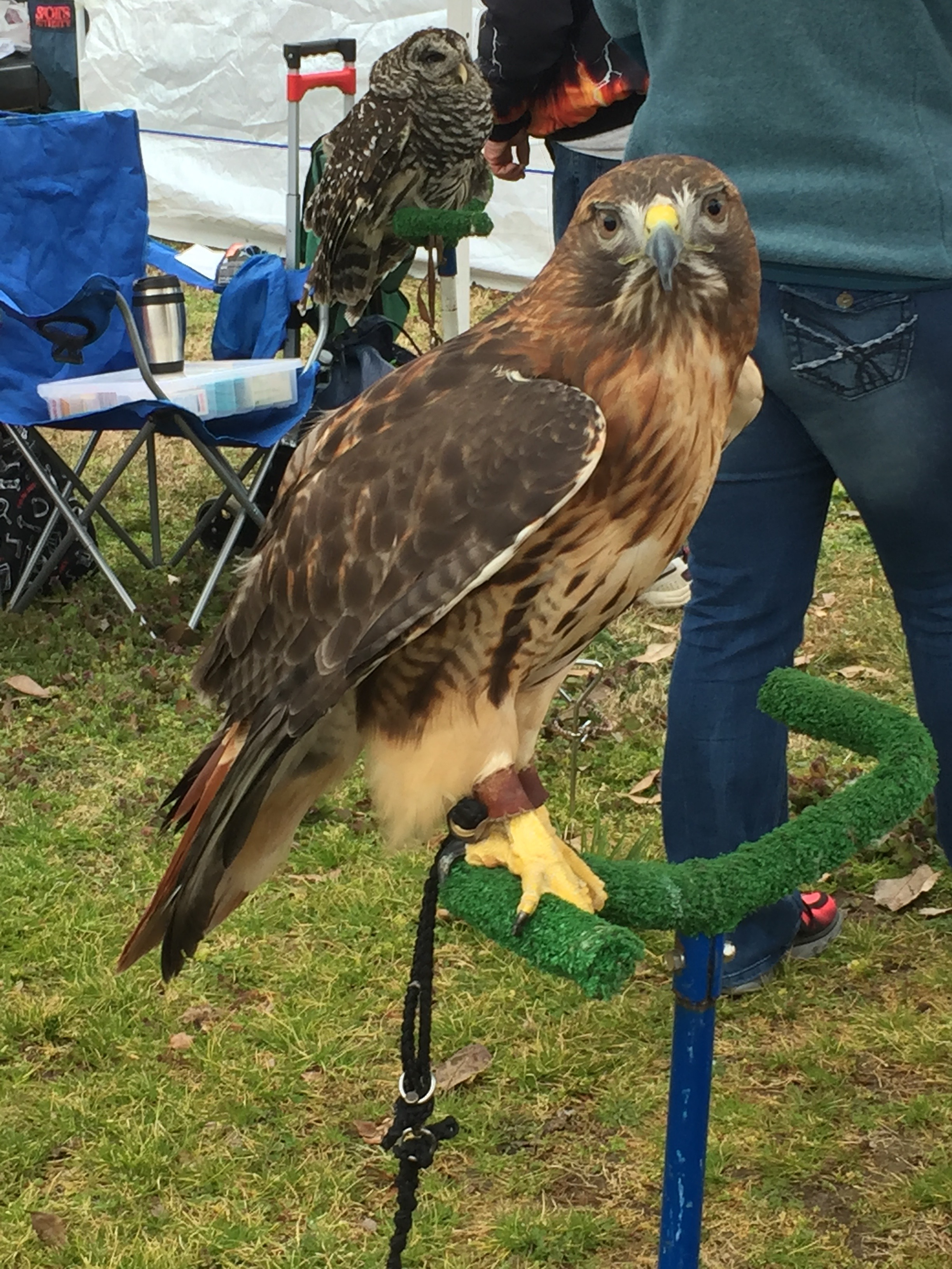 There were tons of artists and even some rehabilitates with their birds of prey like this red tailed hawk and a couple of owls!