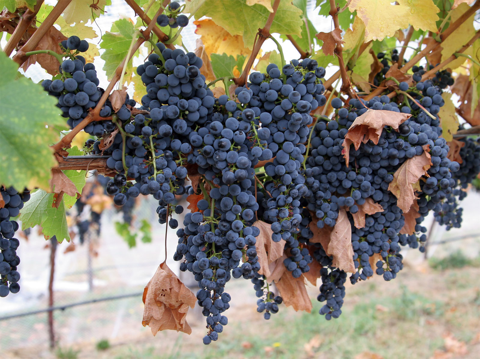 Wine_grapes08.jpg
