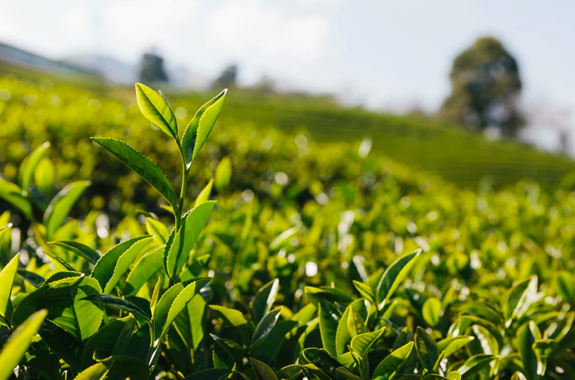 A field of Camellia Sinensis with trees and the sky in the background.