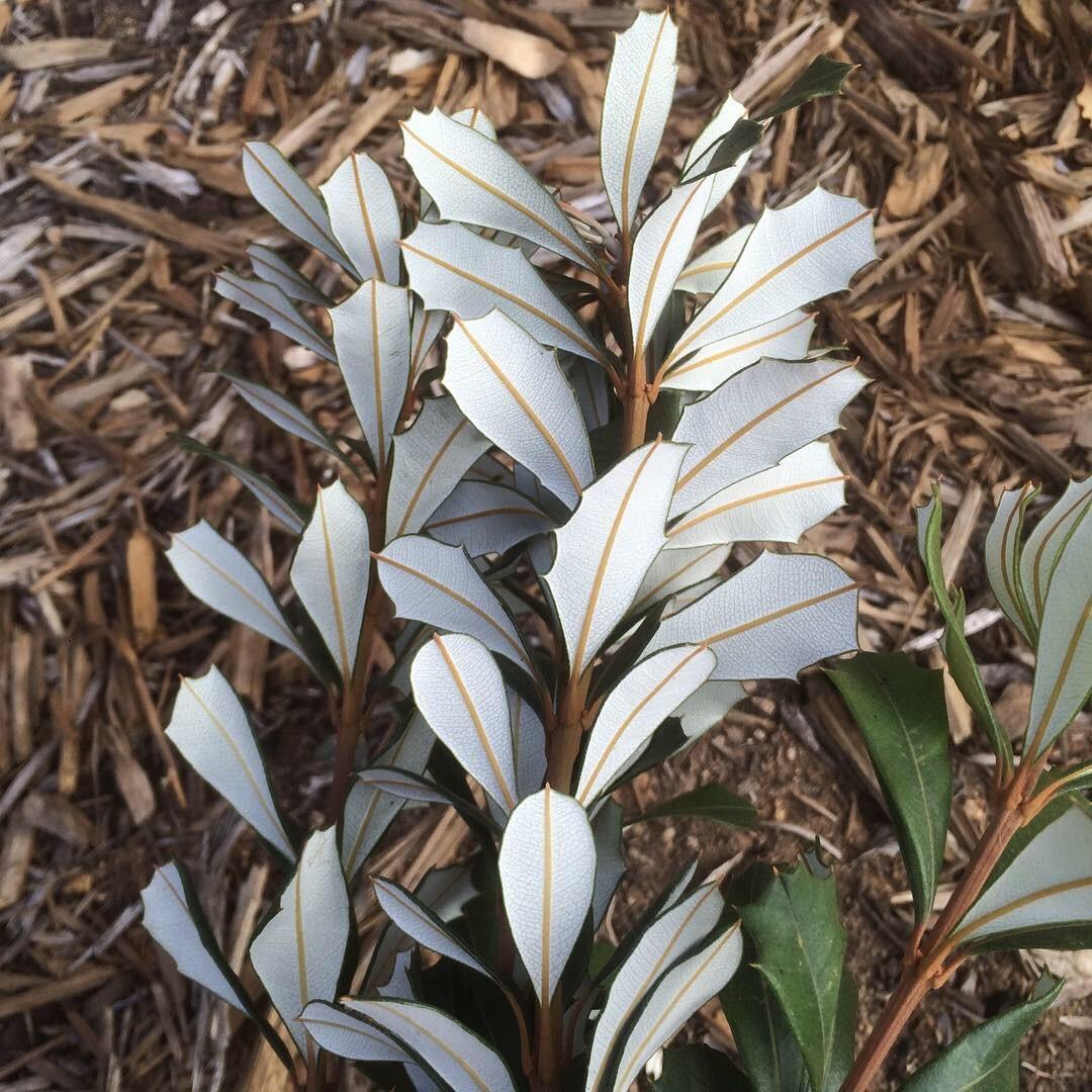 Banksia Integrifolia.jpg