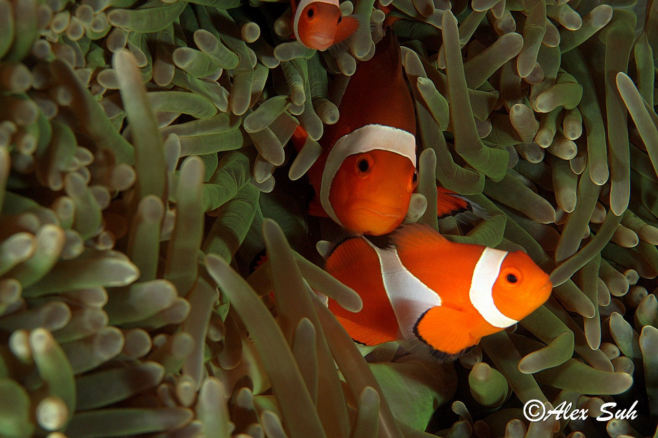 Percula Clown Fish Family